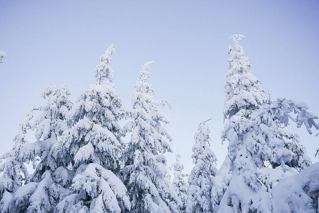 Download Snowy Trees and Blue Cloudless Sky FREE Stock Photo