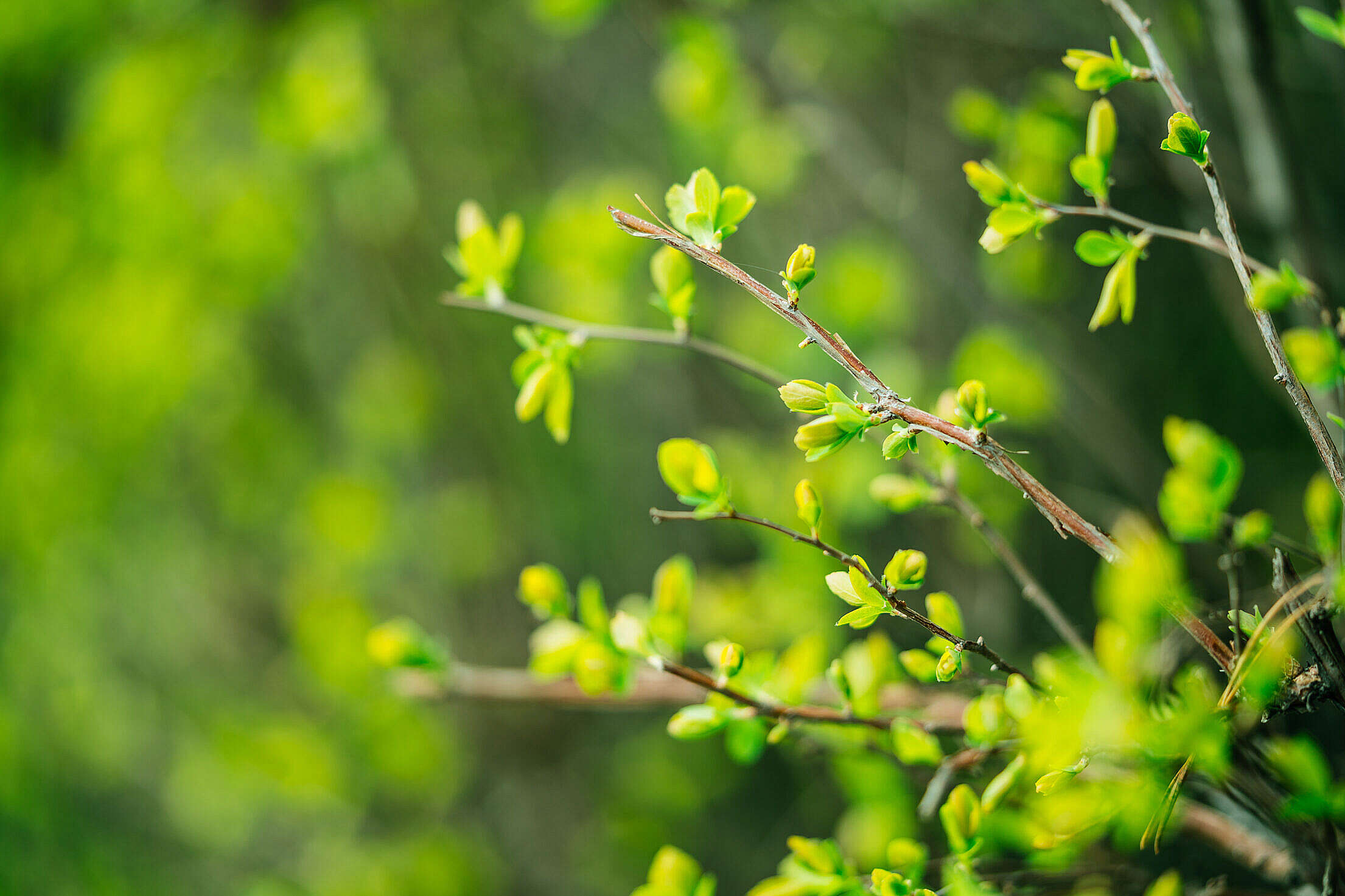 Spring Branch with Buds Free Stock Photo