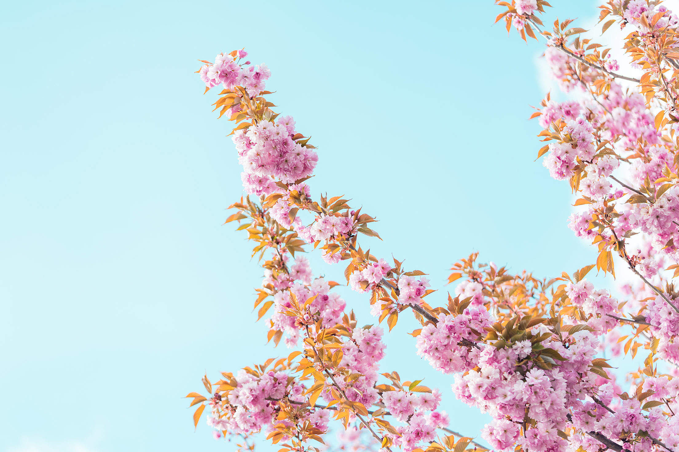 Spring Cherry Tree Blossoms Free Stock Photo