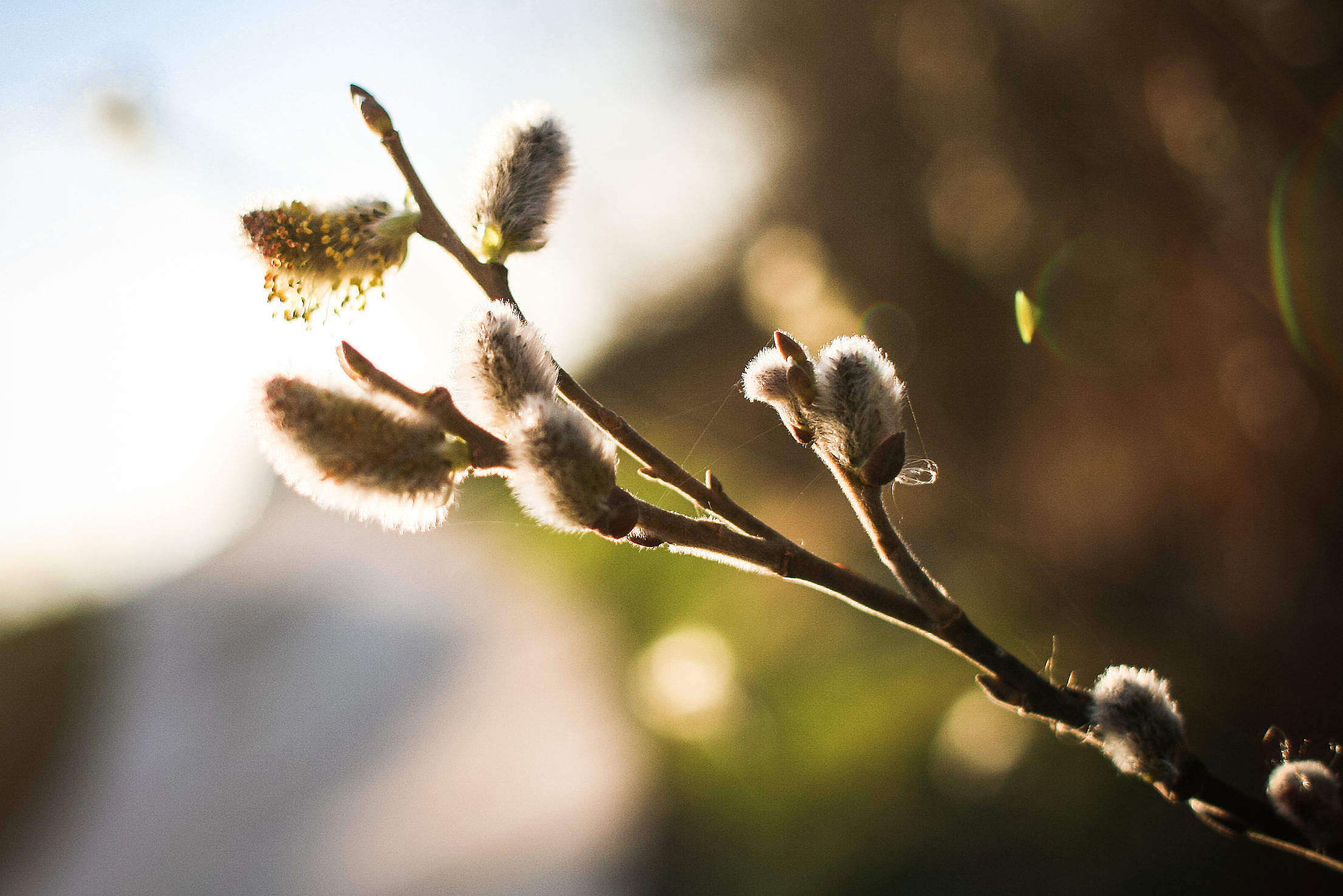 Spring is here! Salix caprea (goat willow) Free Stock Photo