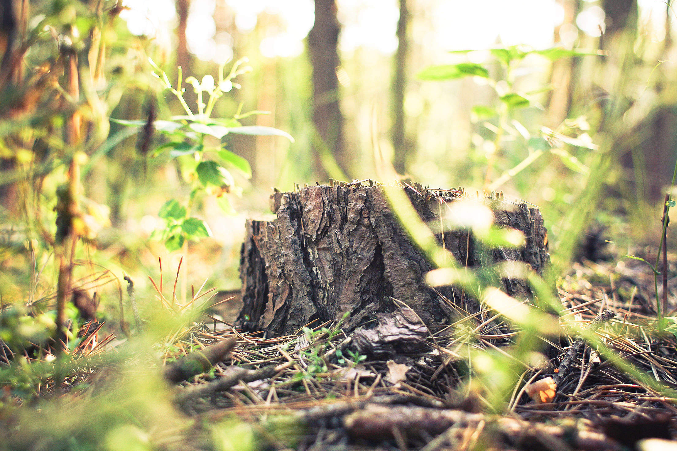 Stump in Forest Free Stock Photo