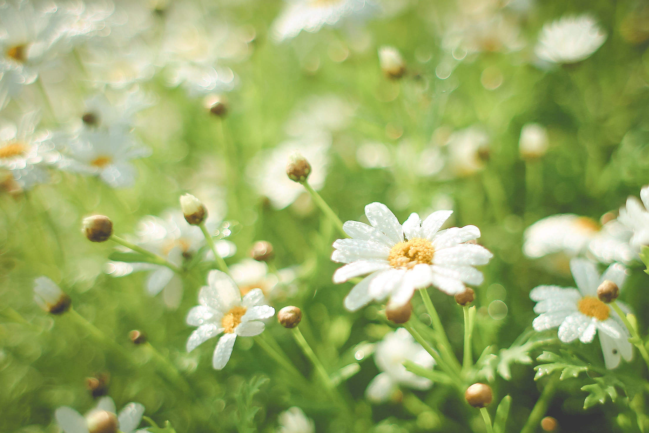Summer Daisy Field Free Stock Photo