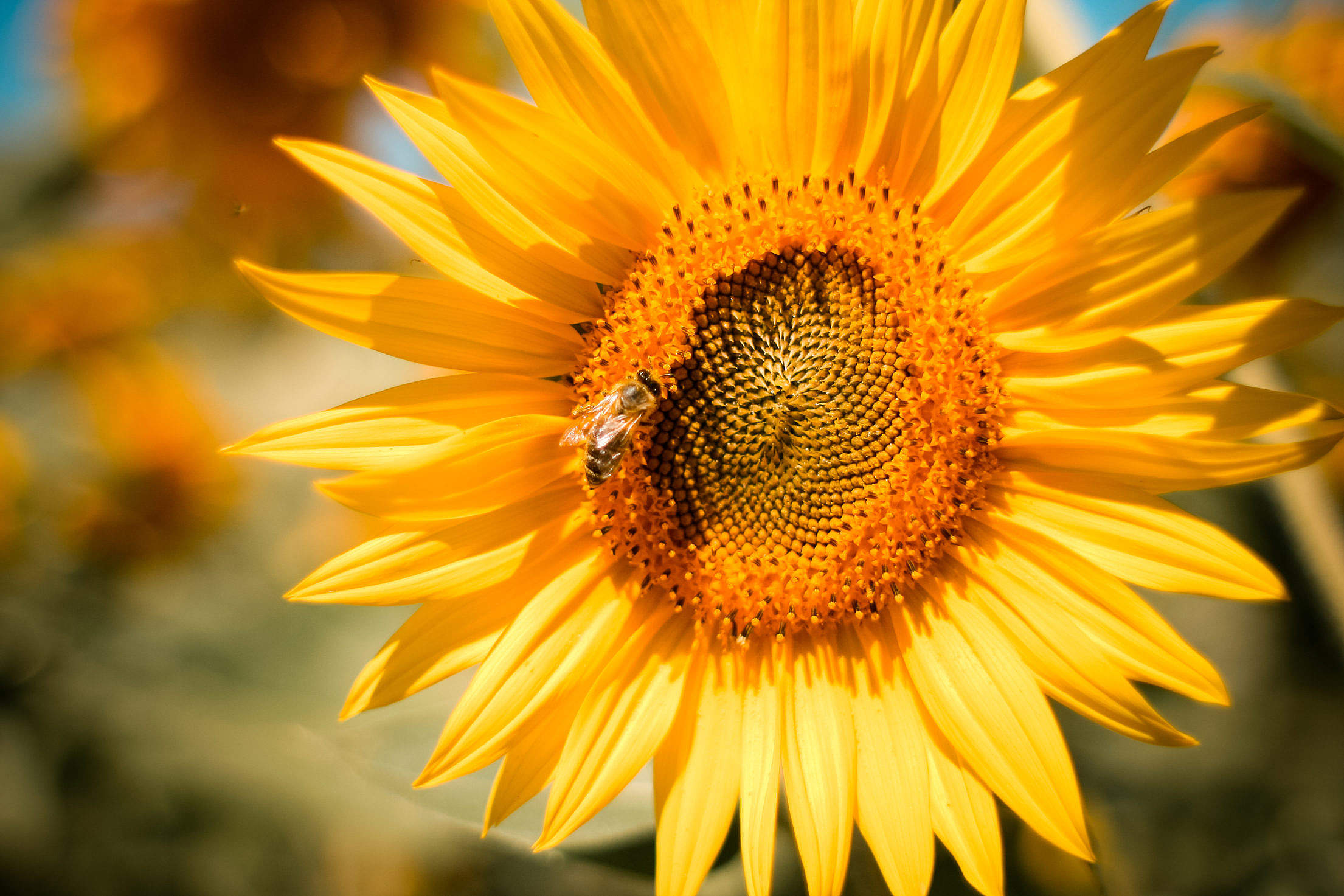 Sunflower with a Bee Free Stock Photo