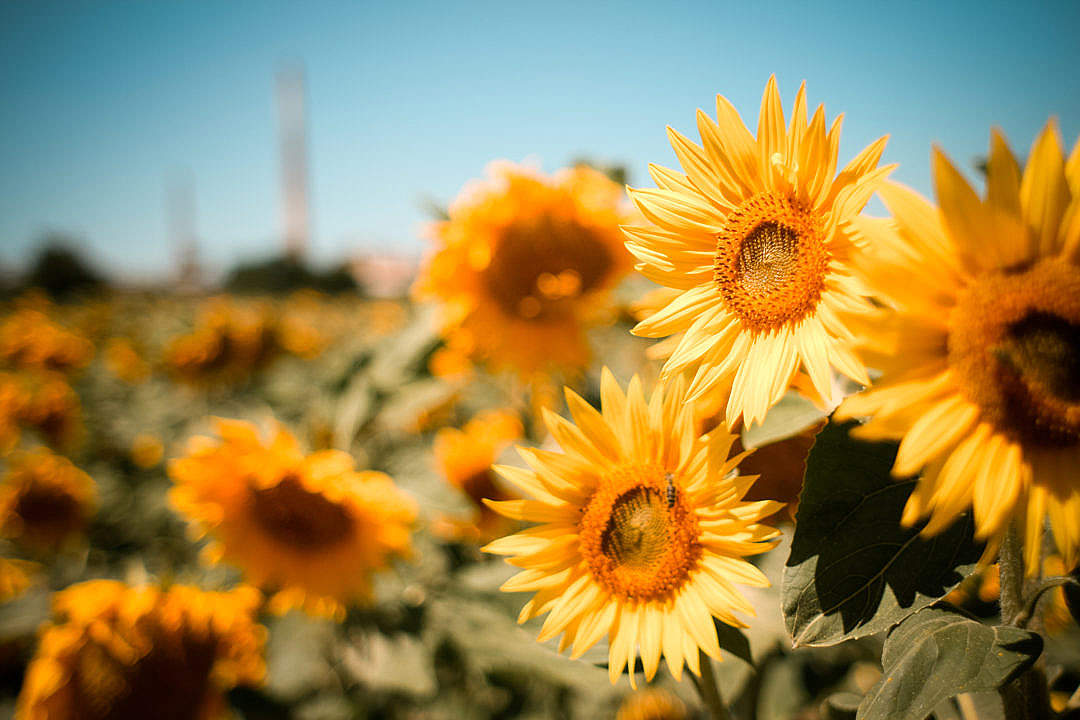 Download Sunflowers Field FREE Stock Photo