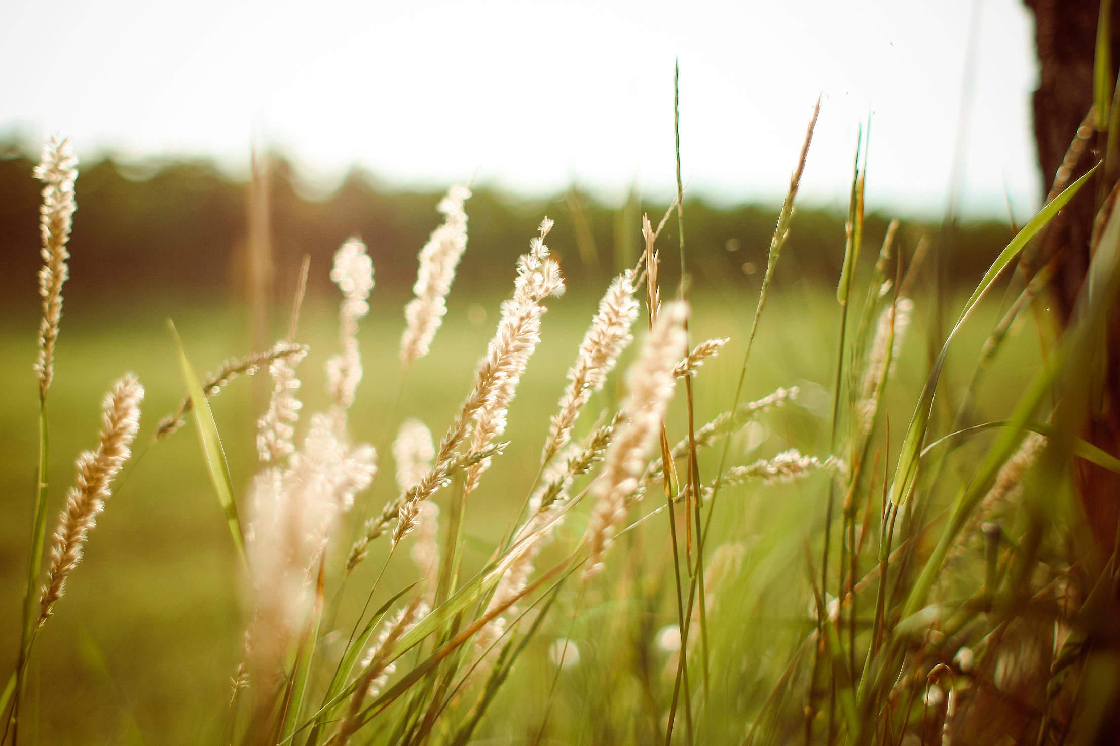 Sunset Grass Free Stock Photo