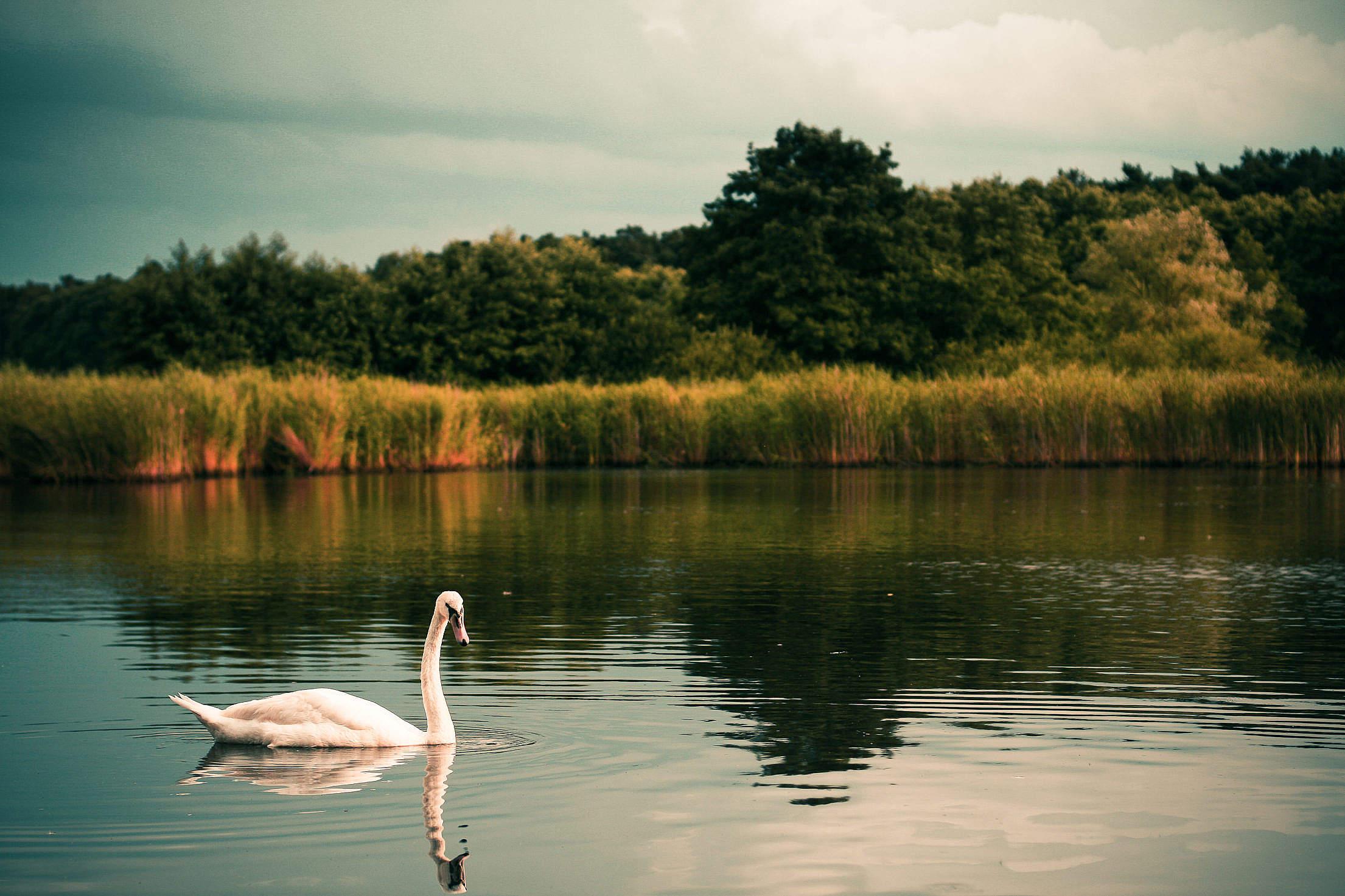 Swan on the Lake Free Stock Photo