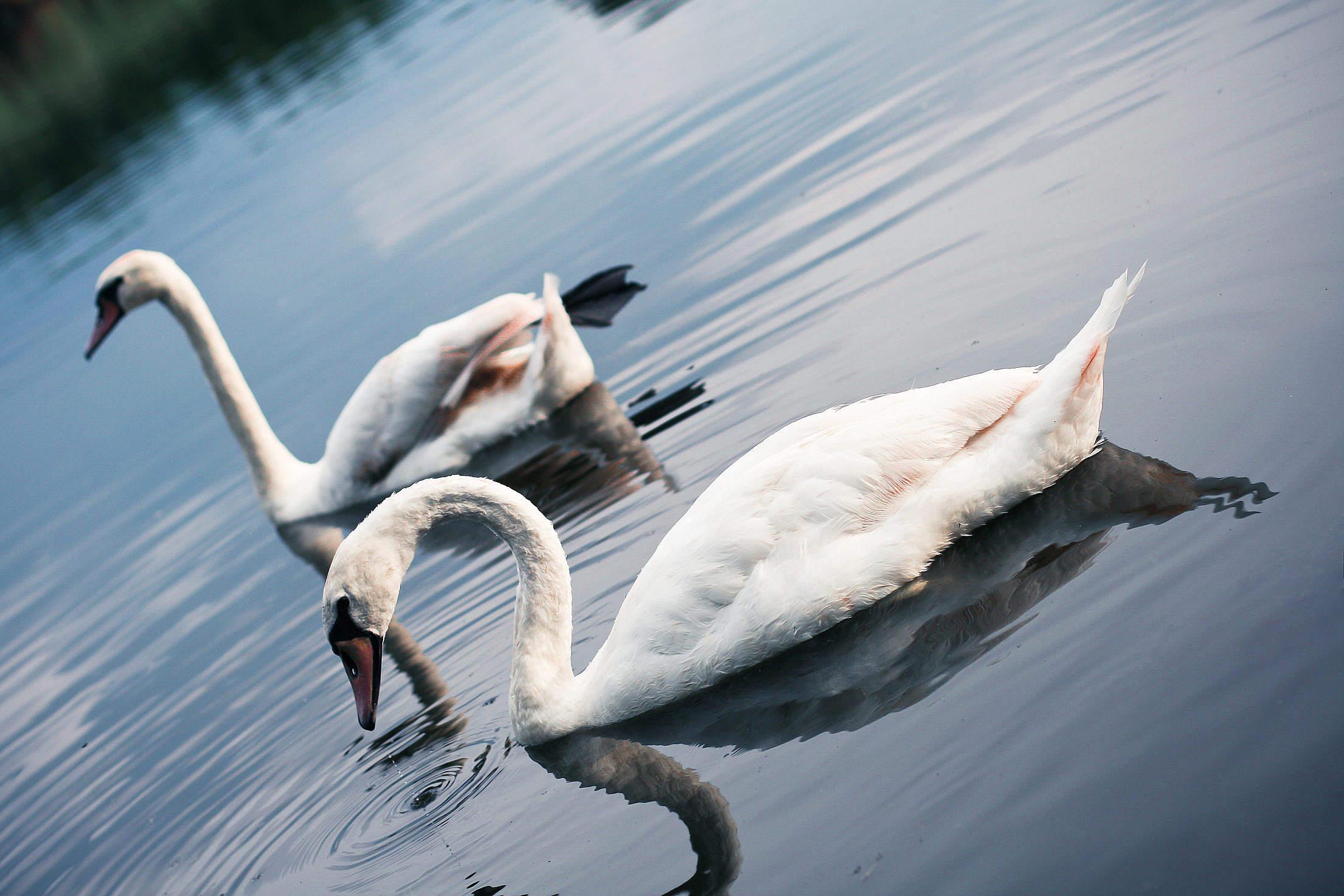 Swans on the Lake Free Stock Photo