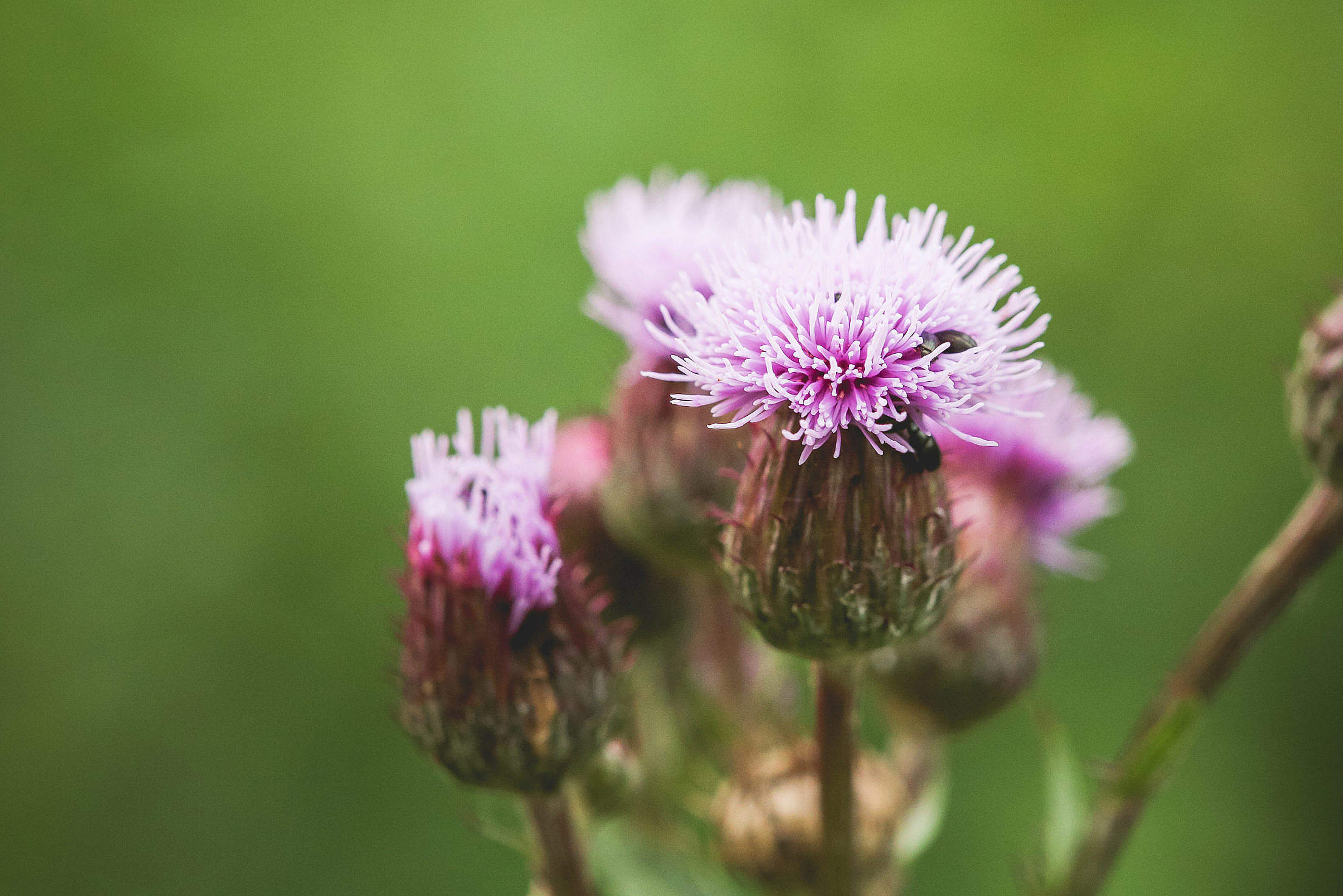Thistle with Bugs Close Up Free Stock Photo