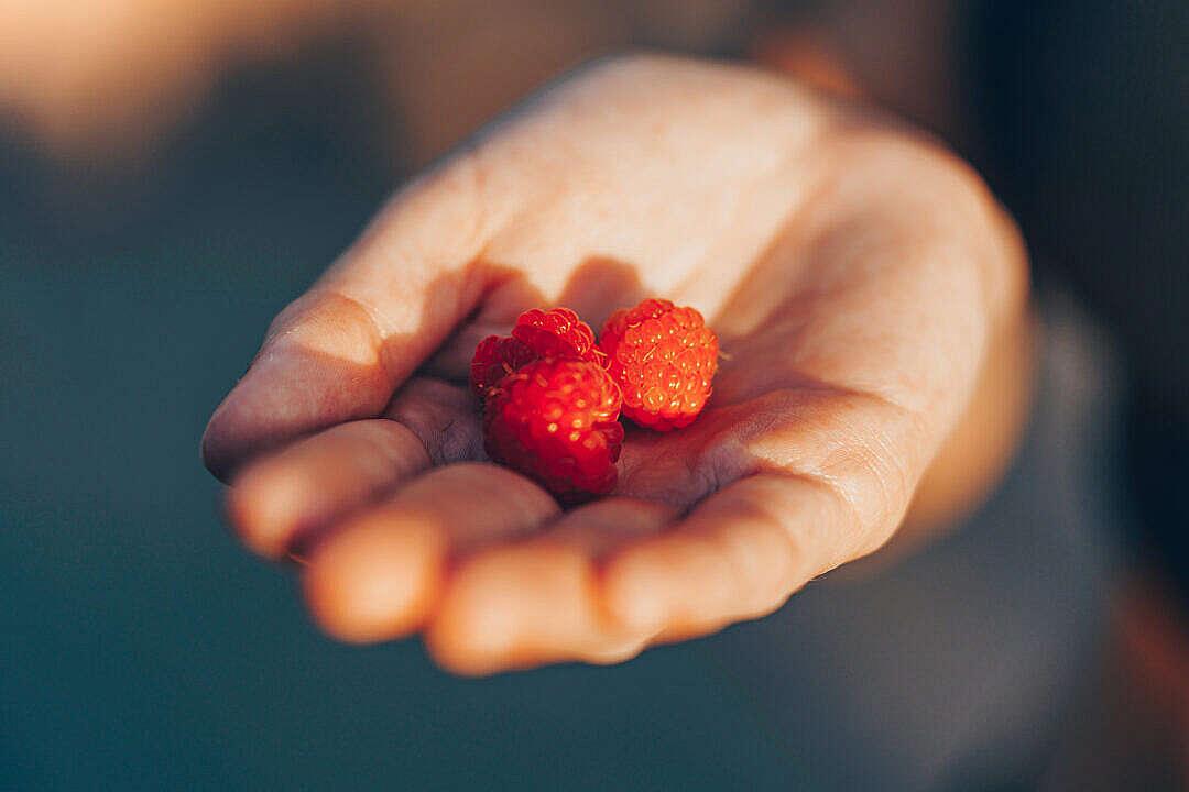 Download Three Raspberries in Hand FREE Stock Photo