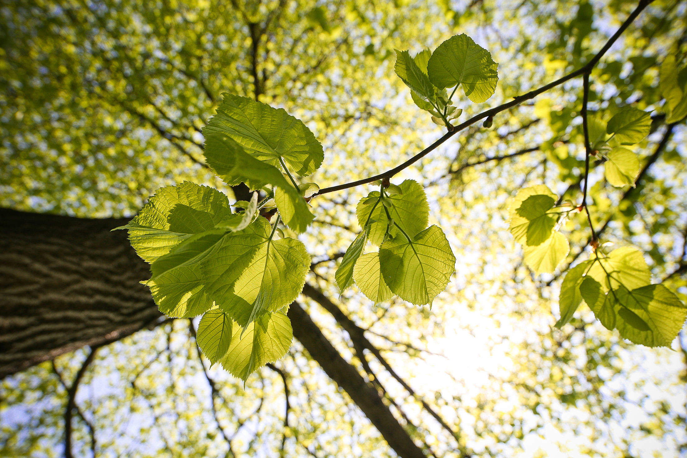 Tree Leaves and The Treetops Free Stock Photo