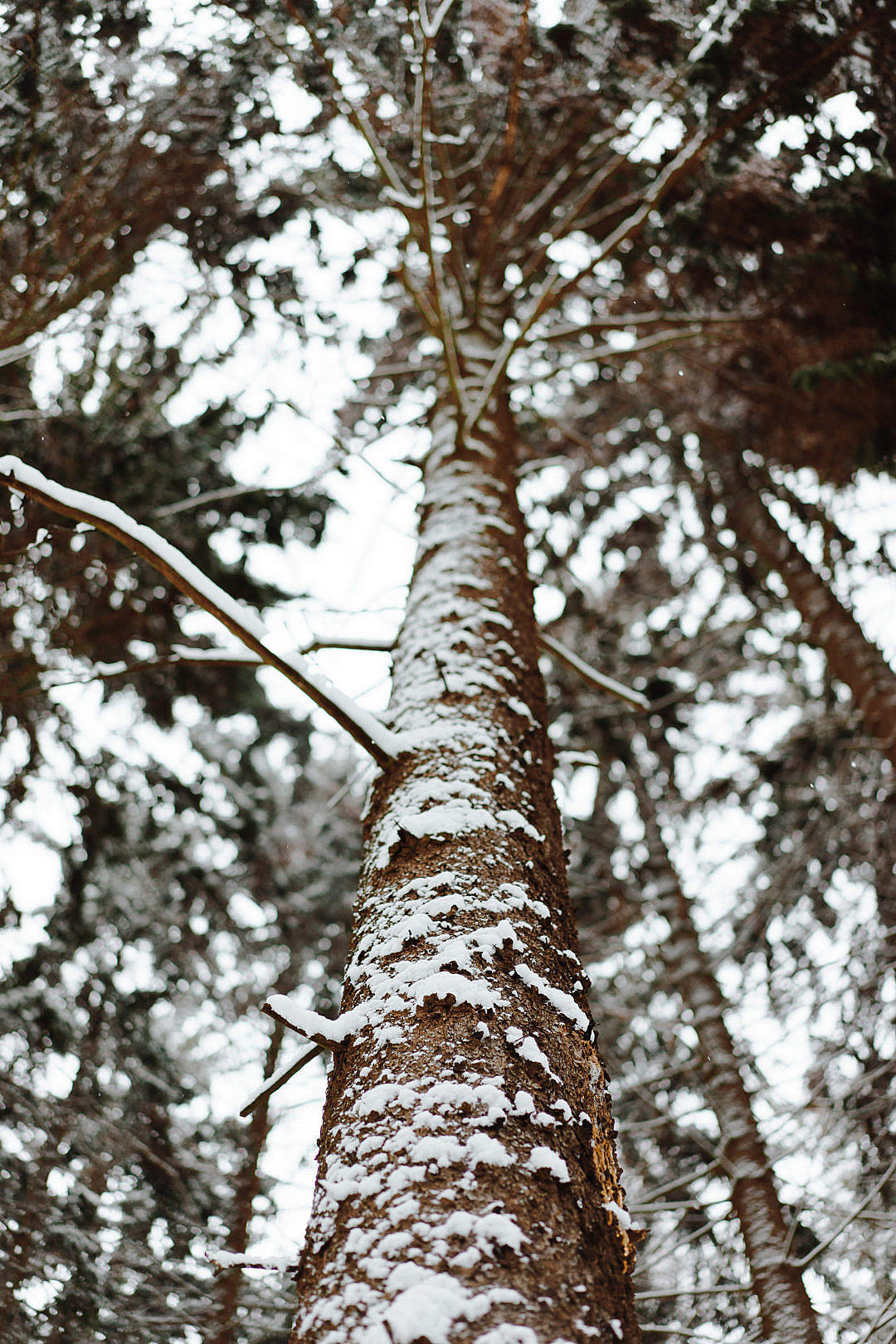 Download Tree Trunk in Winter Vertical FREE Stock Photo