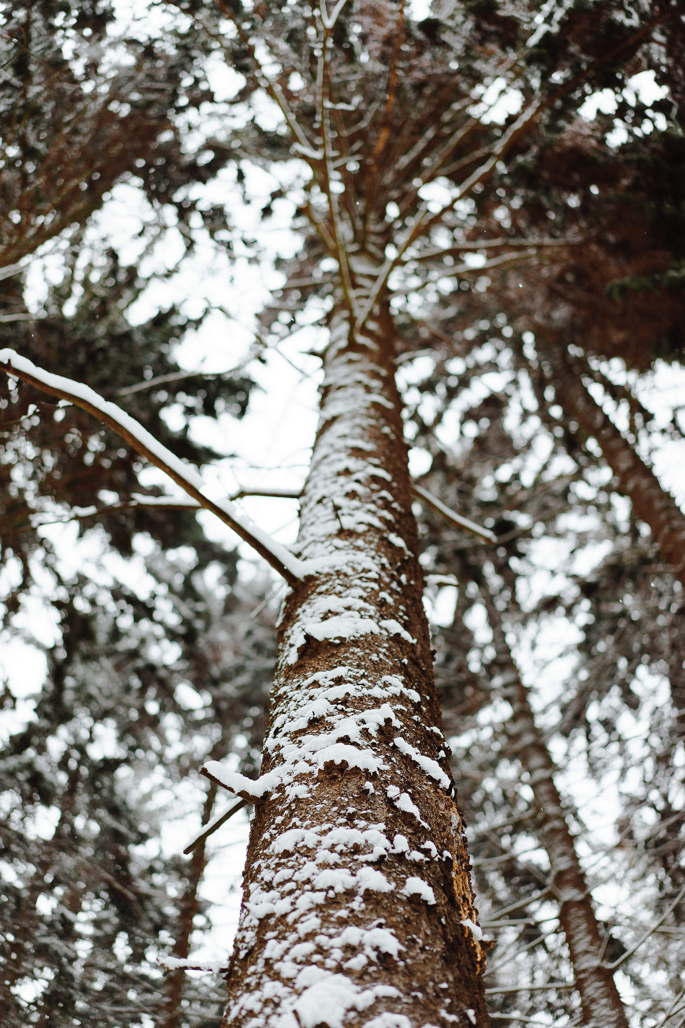 Tree Trunk in Winter Vertical Free Stock Photo