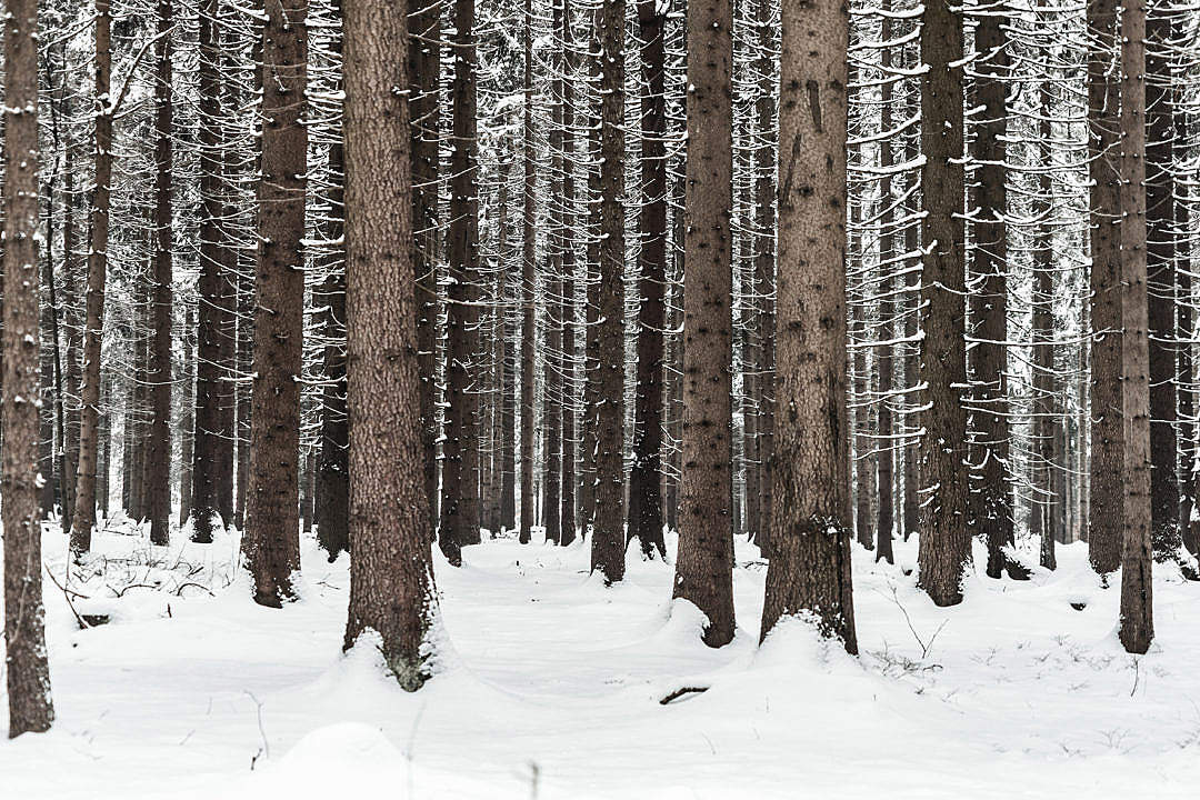 Download Tree Trunks in Winter Forest Snow in Woods FREE Stock Photo