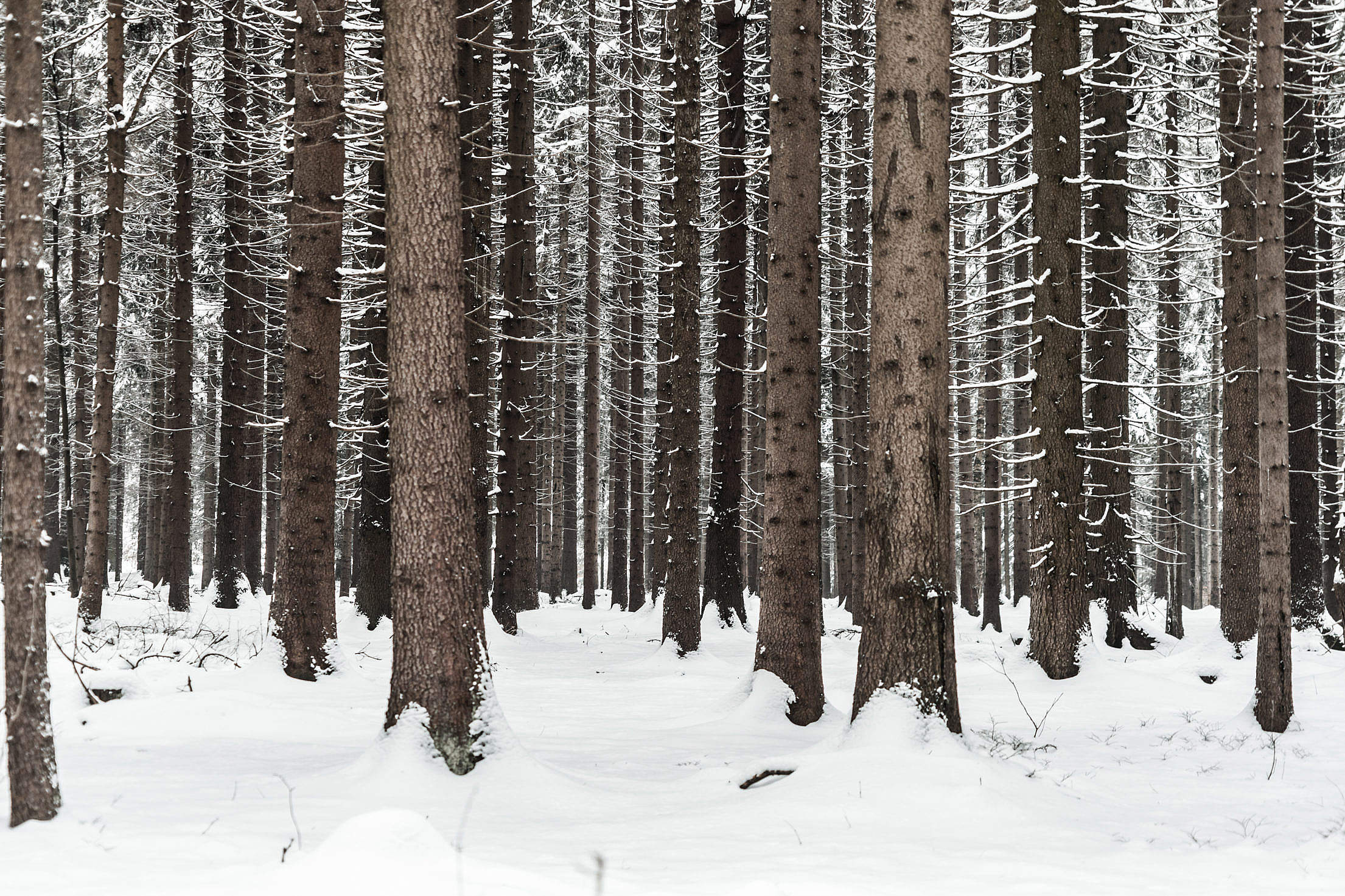 Tree Trunks in Winter Forest Snow in Woods Free Stock Photo