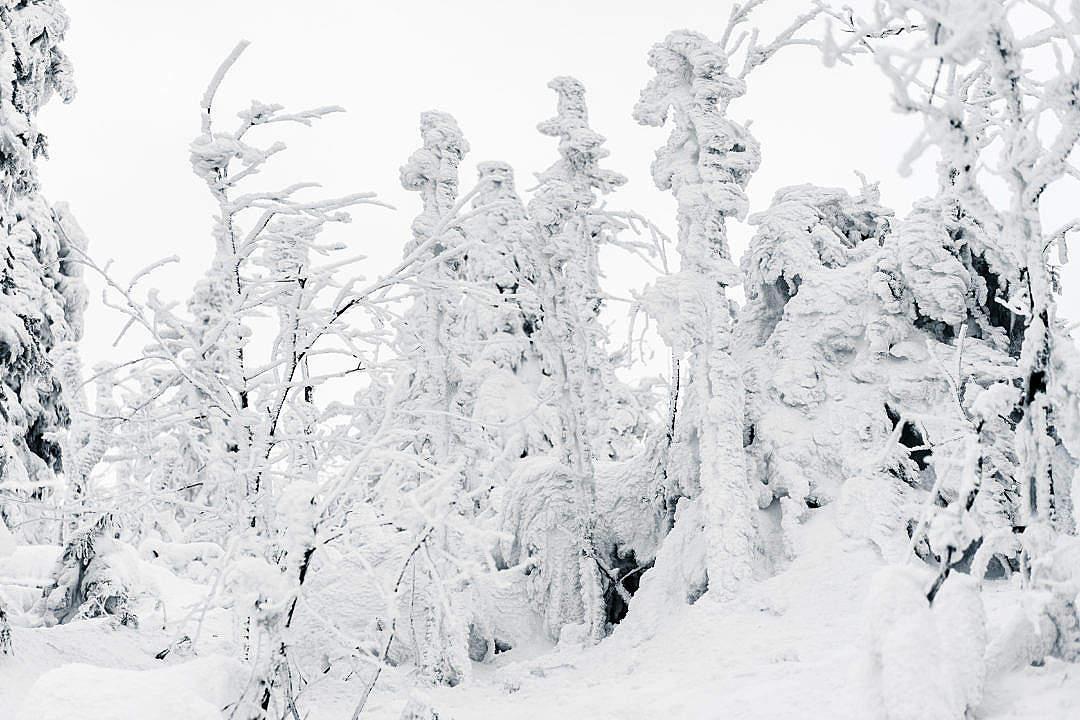 Download Trees Under Heavy Snow FREE Stock Photo