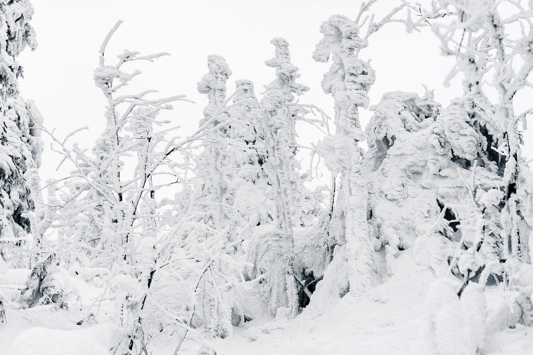 Trees Under Heavy Snow Free Stock Photo