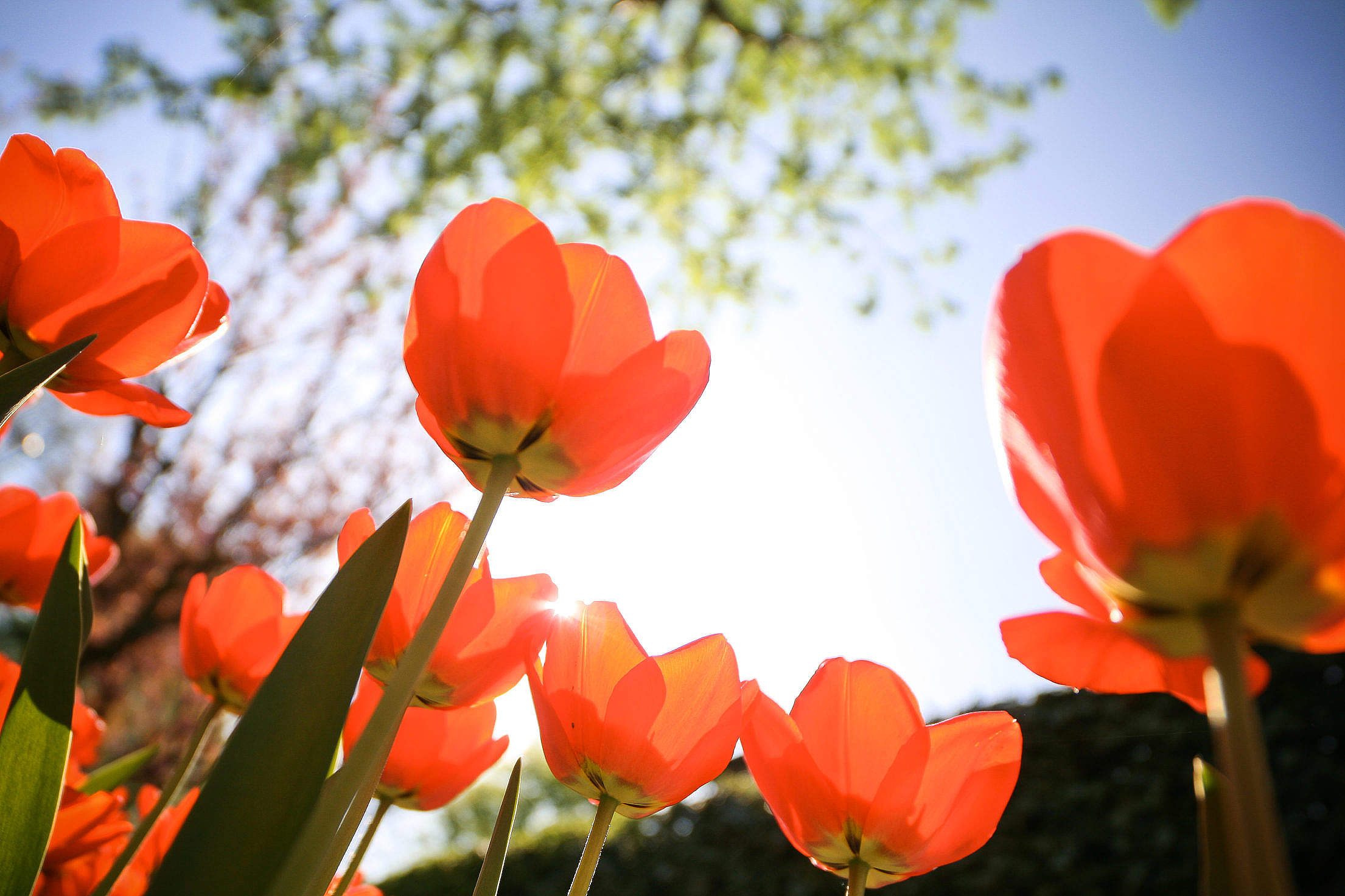 Tulips from Below Free Stock Photo