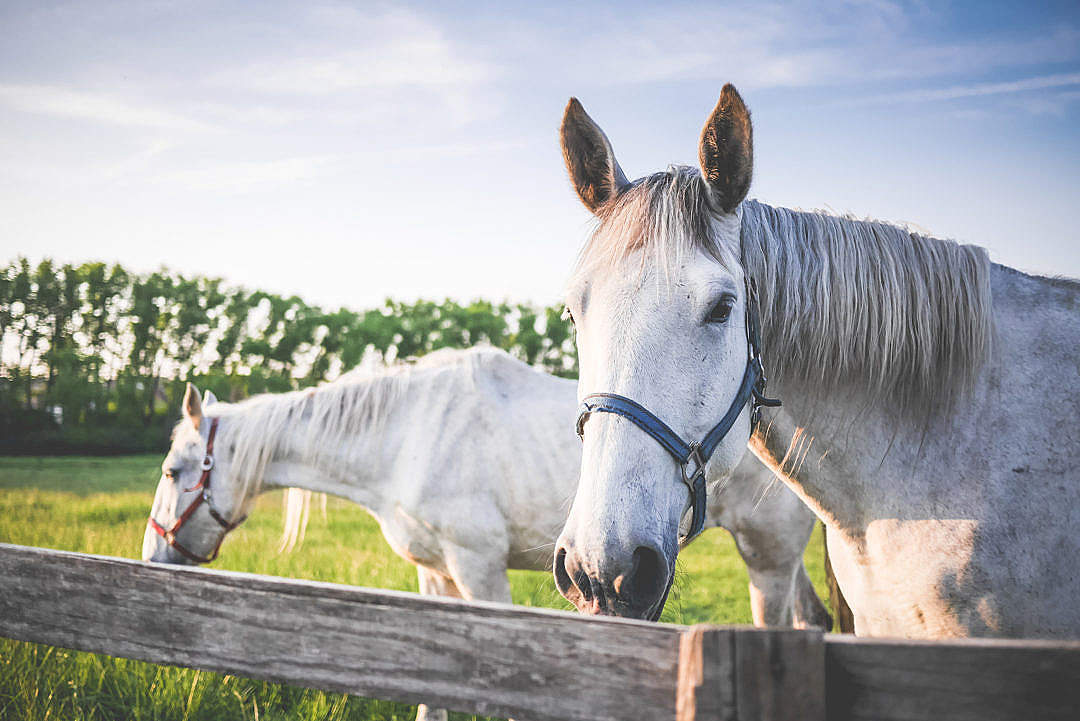 Download Two White Horses on Grand Pasture FREE Stock Photo