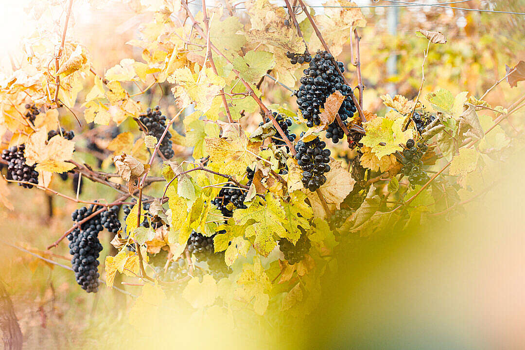 Download Vineyard Full of Blue Grapes FREE Stock Photo