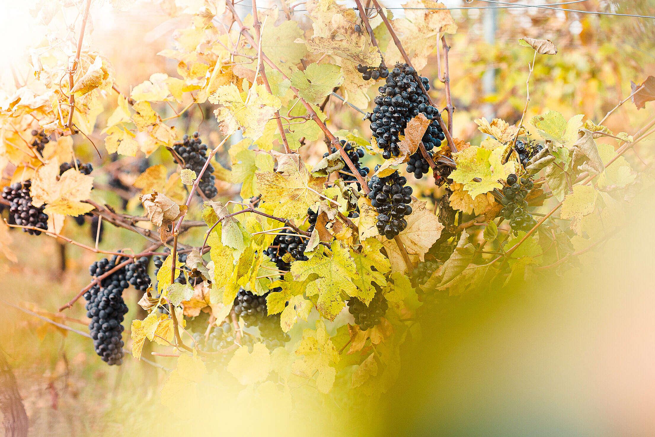 Vineyard Full of Blue Grapes Free Stock Photo