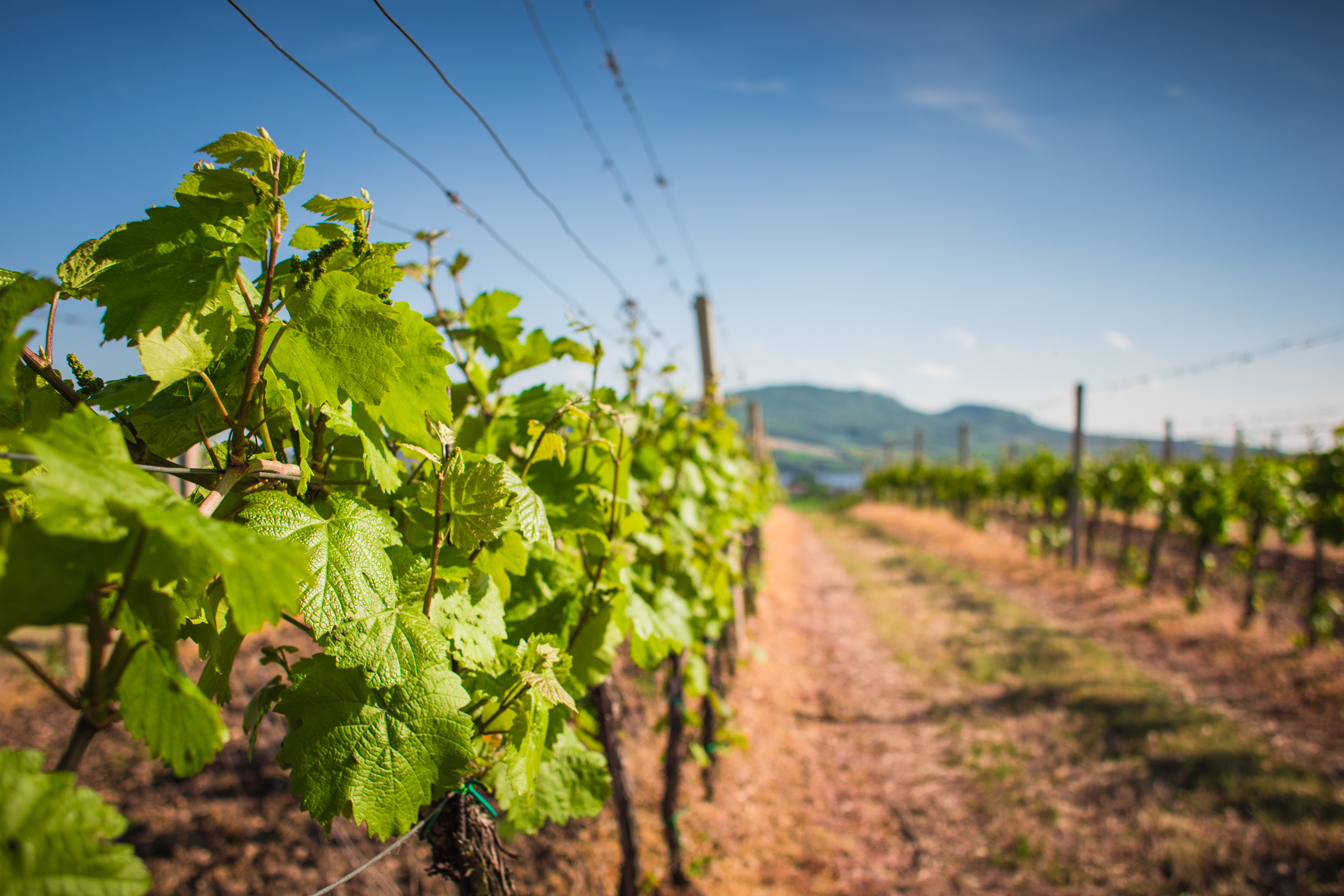 Download Vineyard: Waiting For The First Grapes FREE Stock Photo