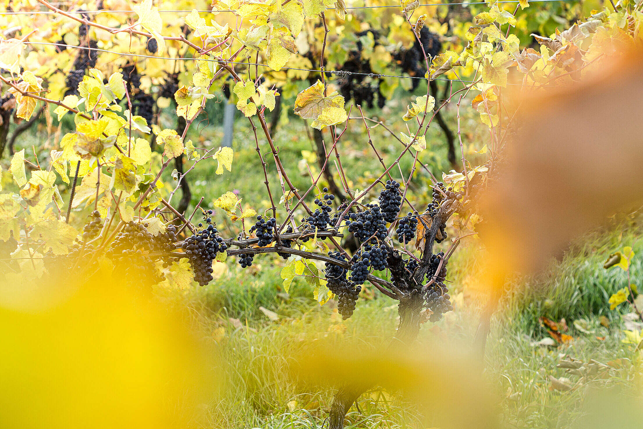 Vineyard with Concord Grapes Free Stock Photo