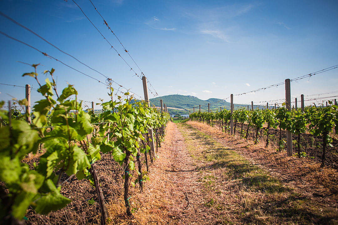 Download Vineyards and Palava hills, Czech Republic FREE Stock Photo