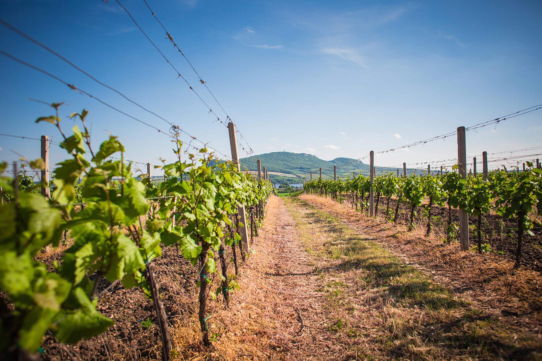 Vineyards and Palava hills, Czech Republic Free Stock Photo