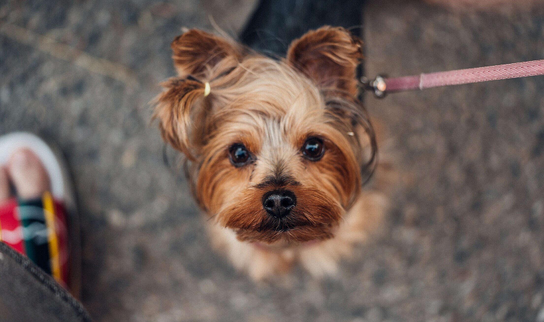 Walking Cute Yorkshire Terrier Free Stock Photo