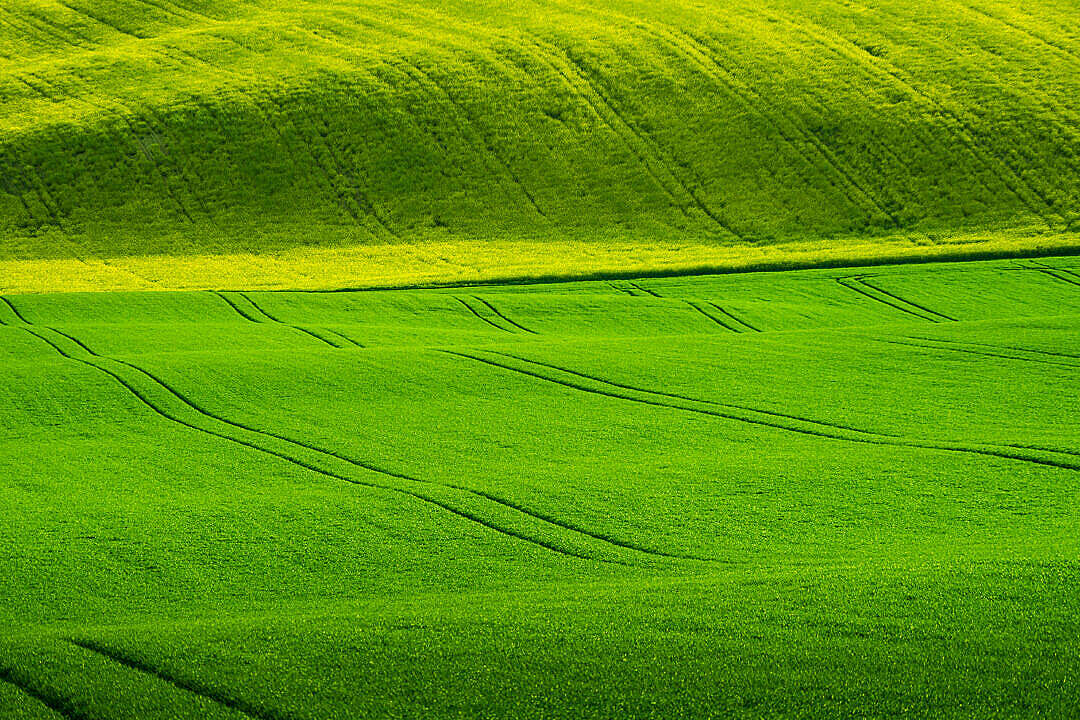 Download Wavy Green Wheat Fields FREE Stock Photo