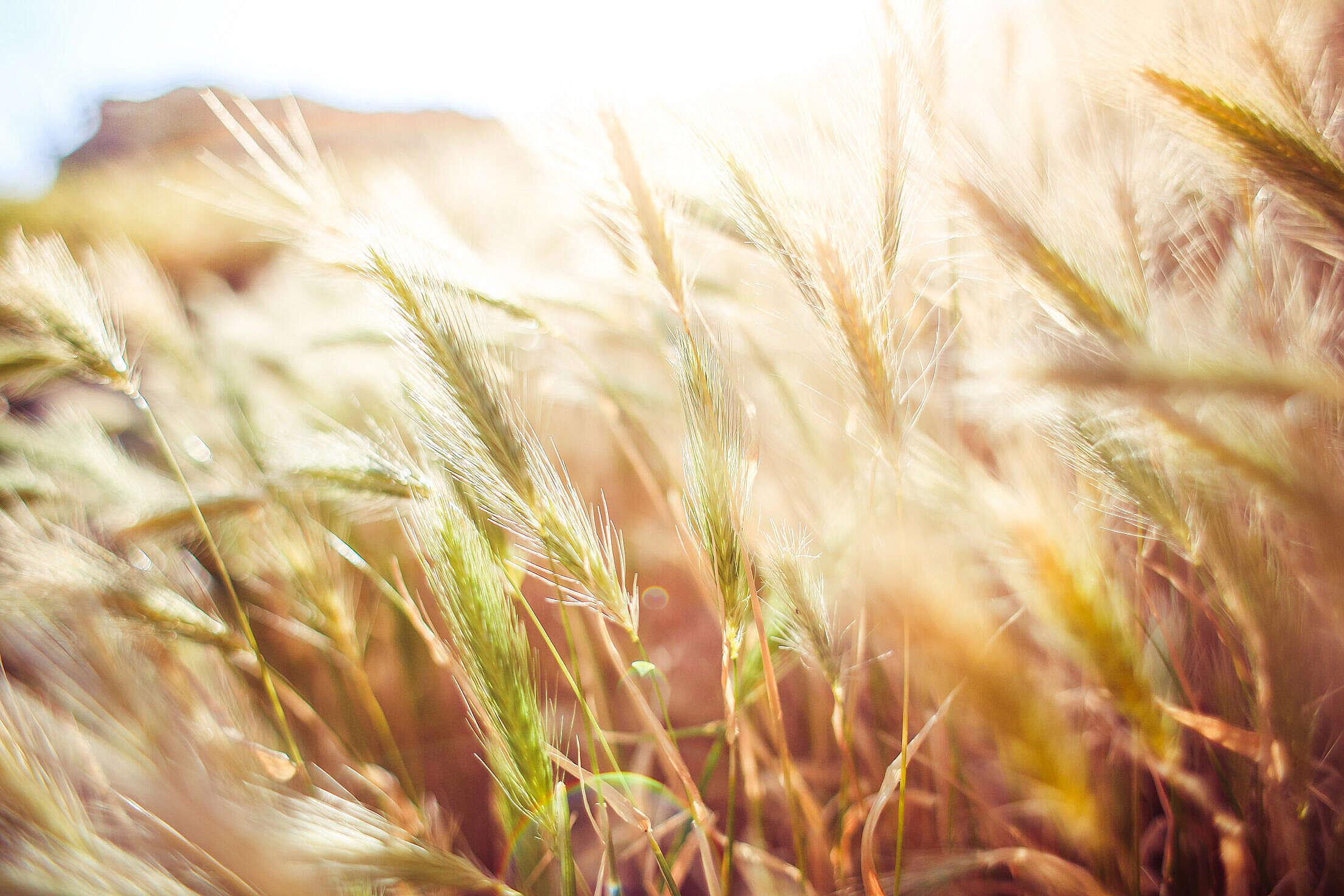 Wheat Close Up Free Stock Photo