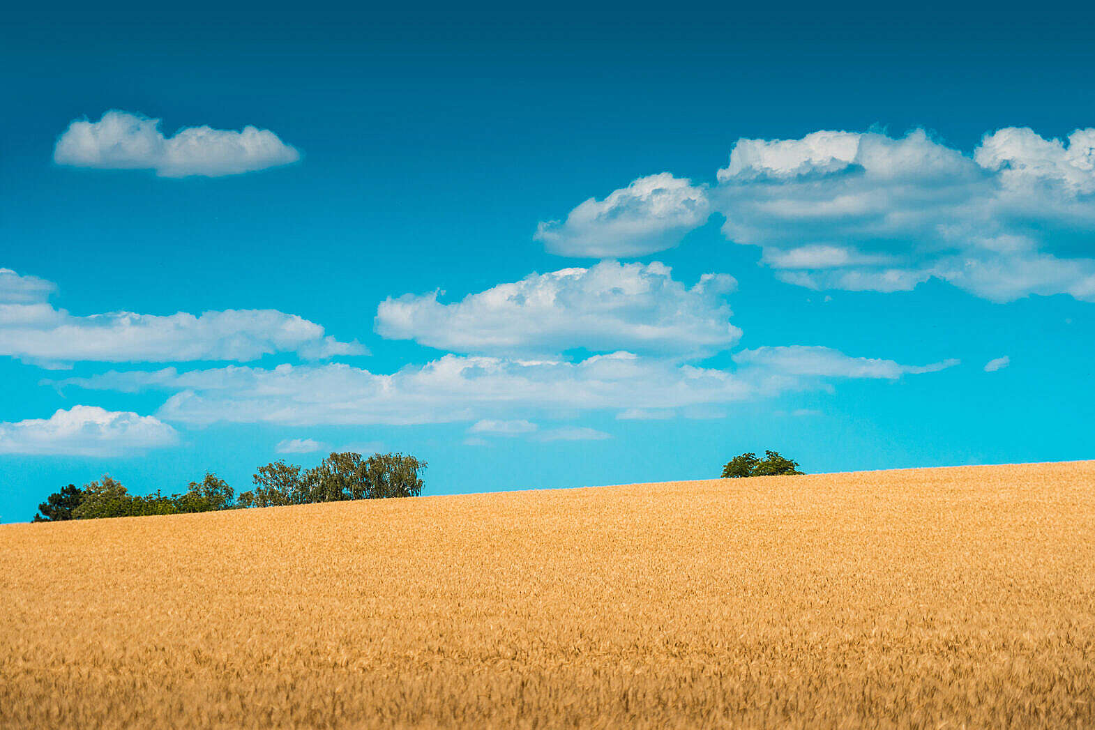 Wheat Field and Blue Sky Free Stock Photo Download