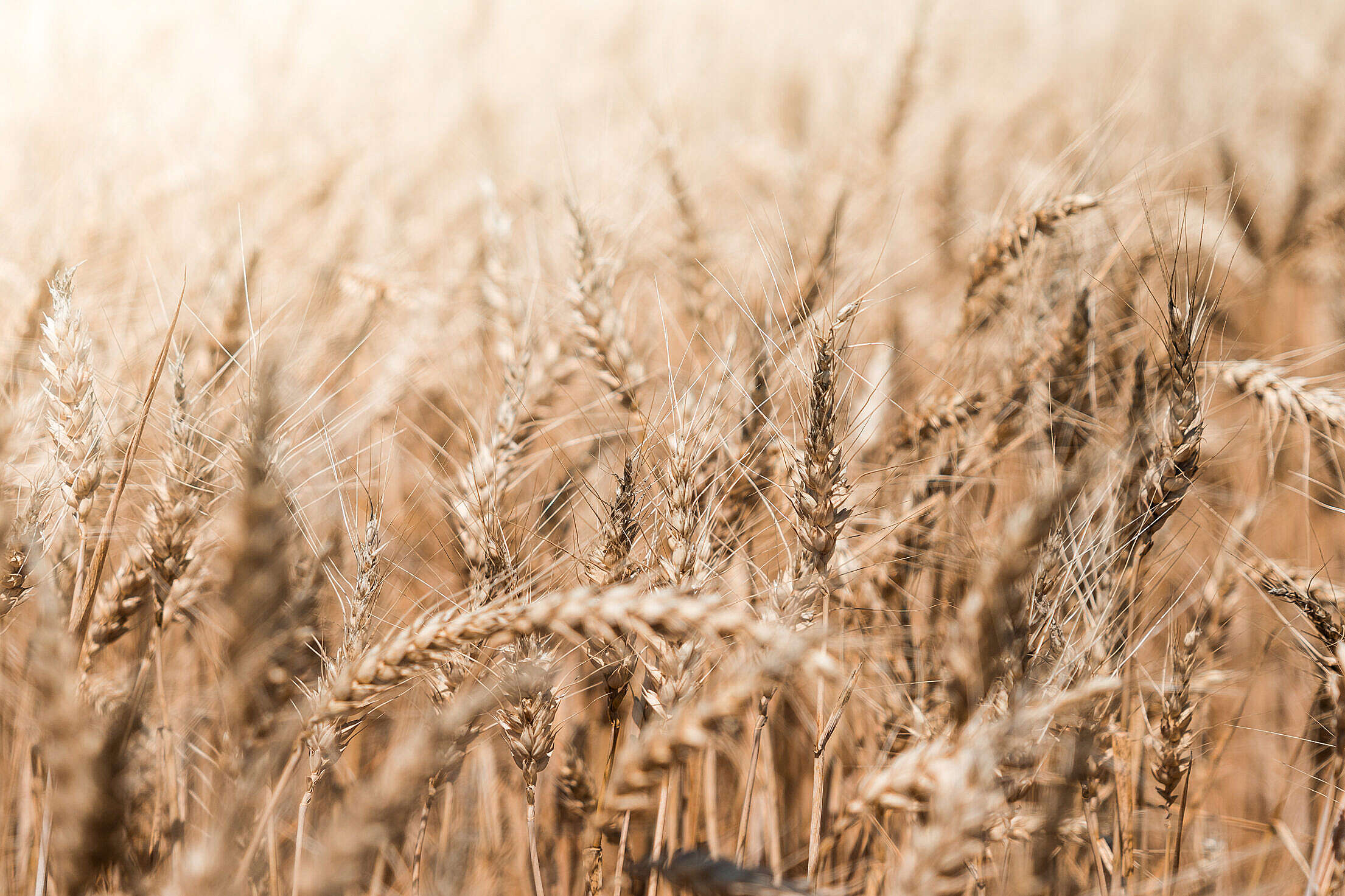 Download Wheat Field Close Up Free Stock Photo