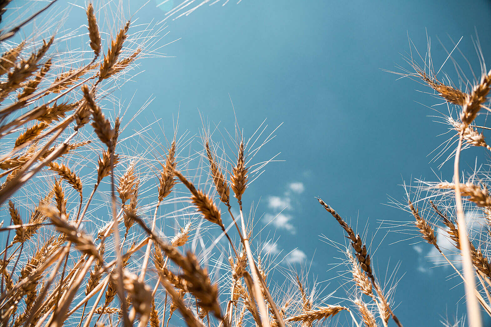 Wheat Field Free Stock Photo Download