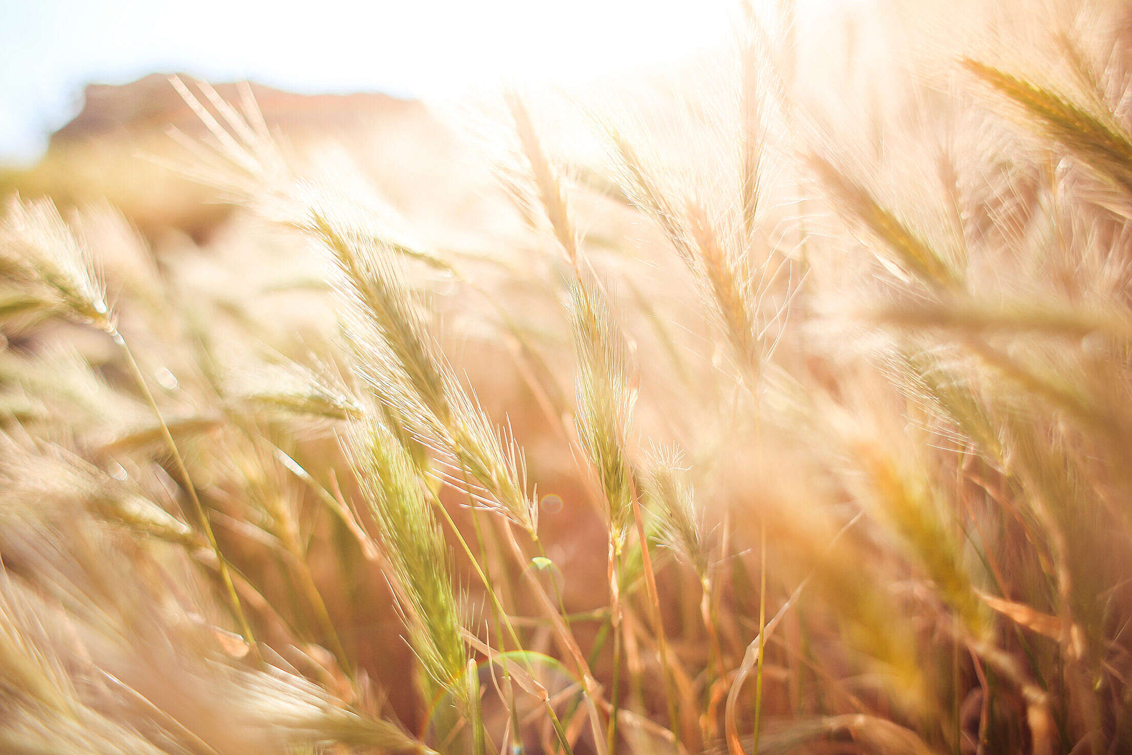 Wheat Field in Sun Close Up Free Stock Photo