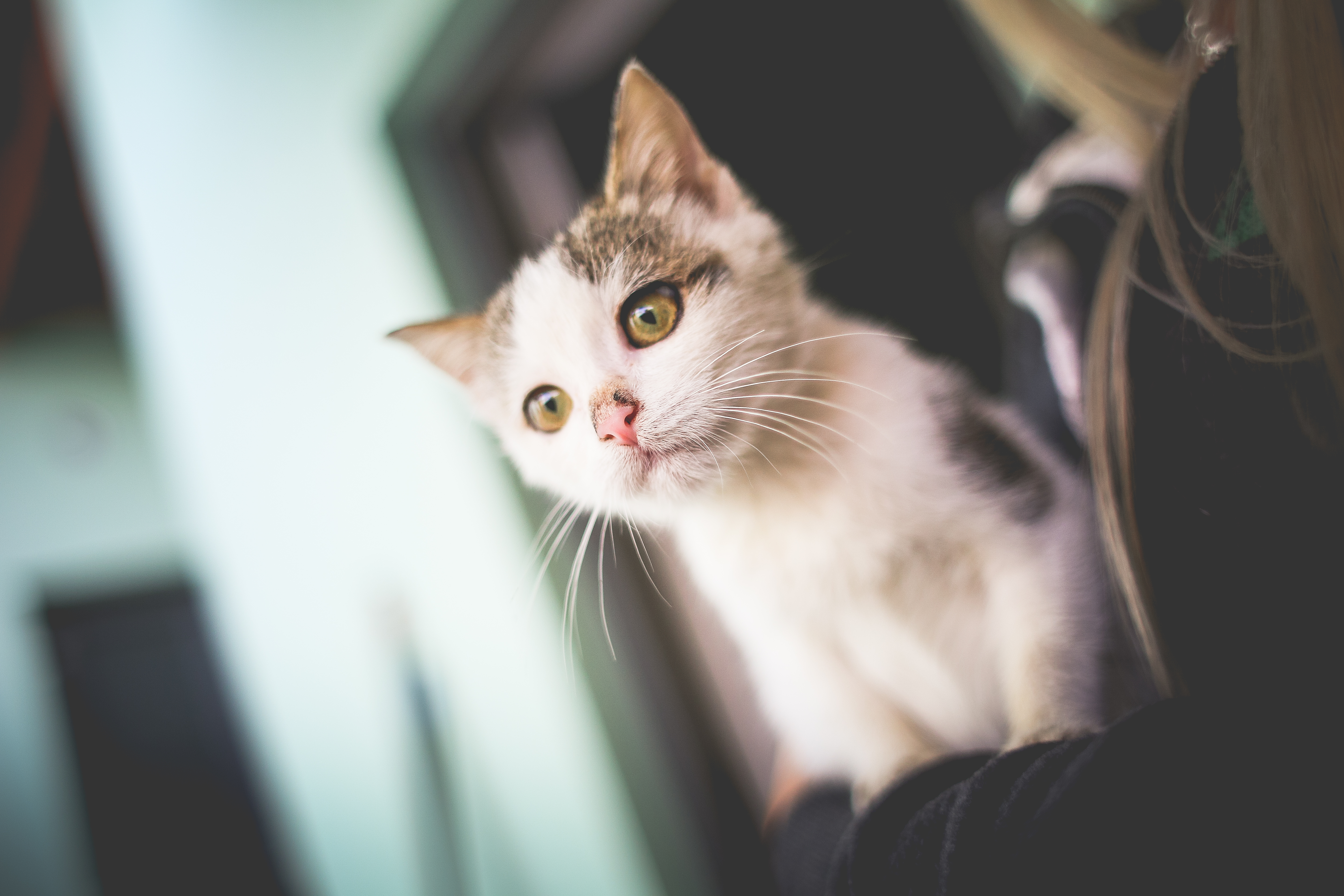 Download White Cat In Her Arms FREE Stock Photo