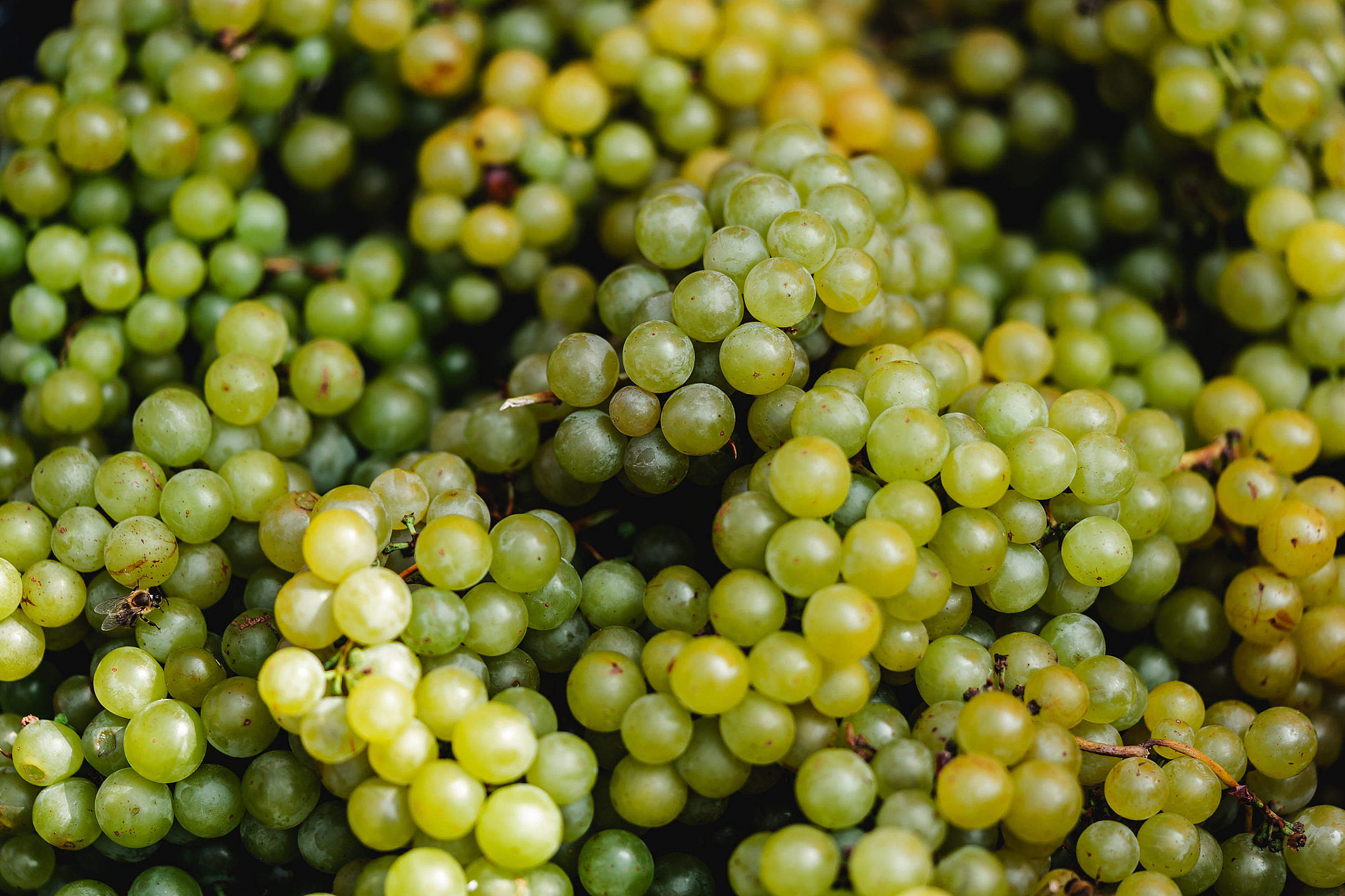 White Grape Wine Harvest Free Stock Photo