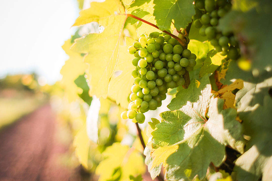 Download White Grapes Grapevine in a Vineyard FREE Stock Photo