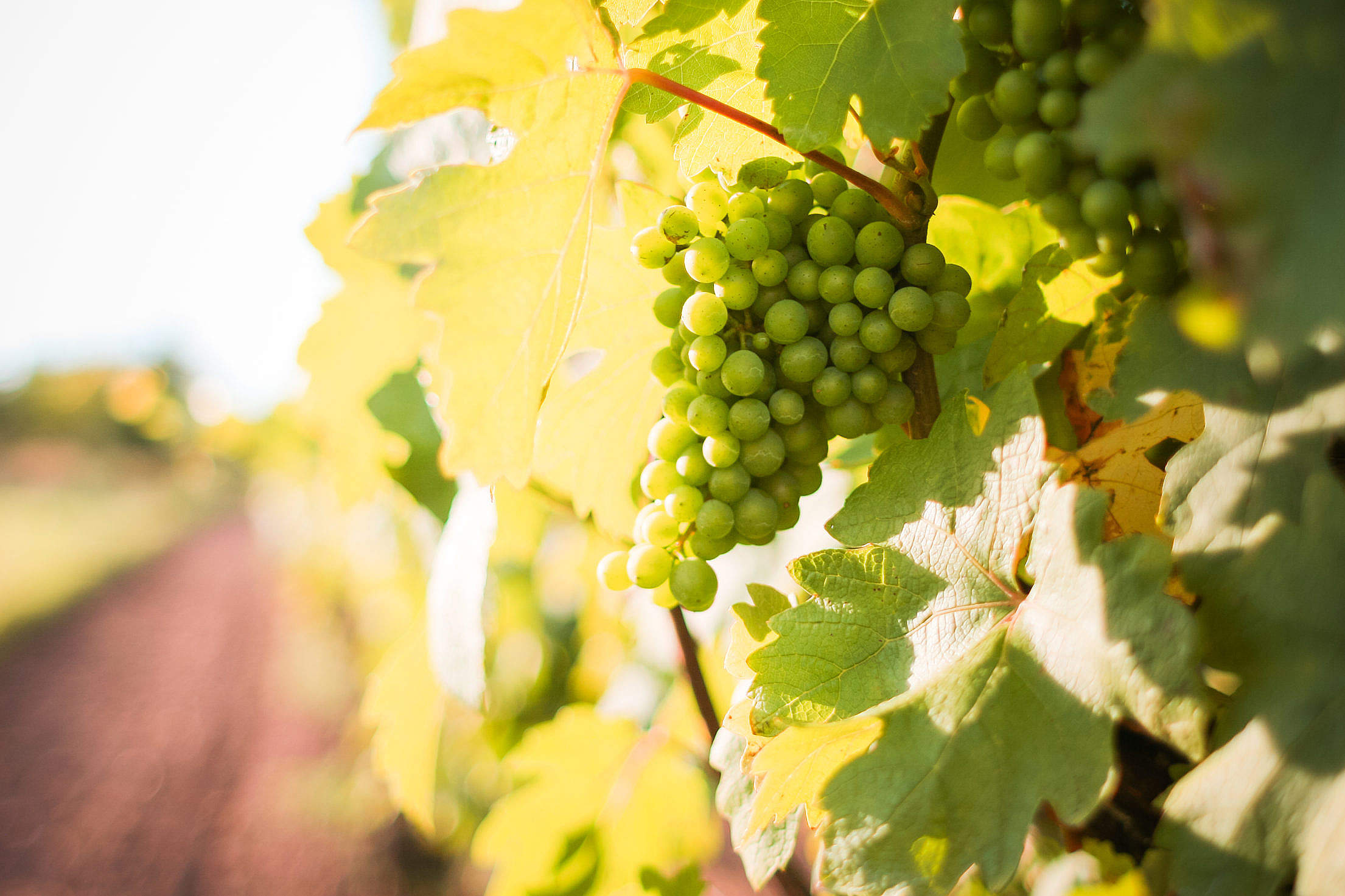 White Grapes Grapevine in a Vineyard Free Stock Photo