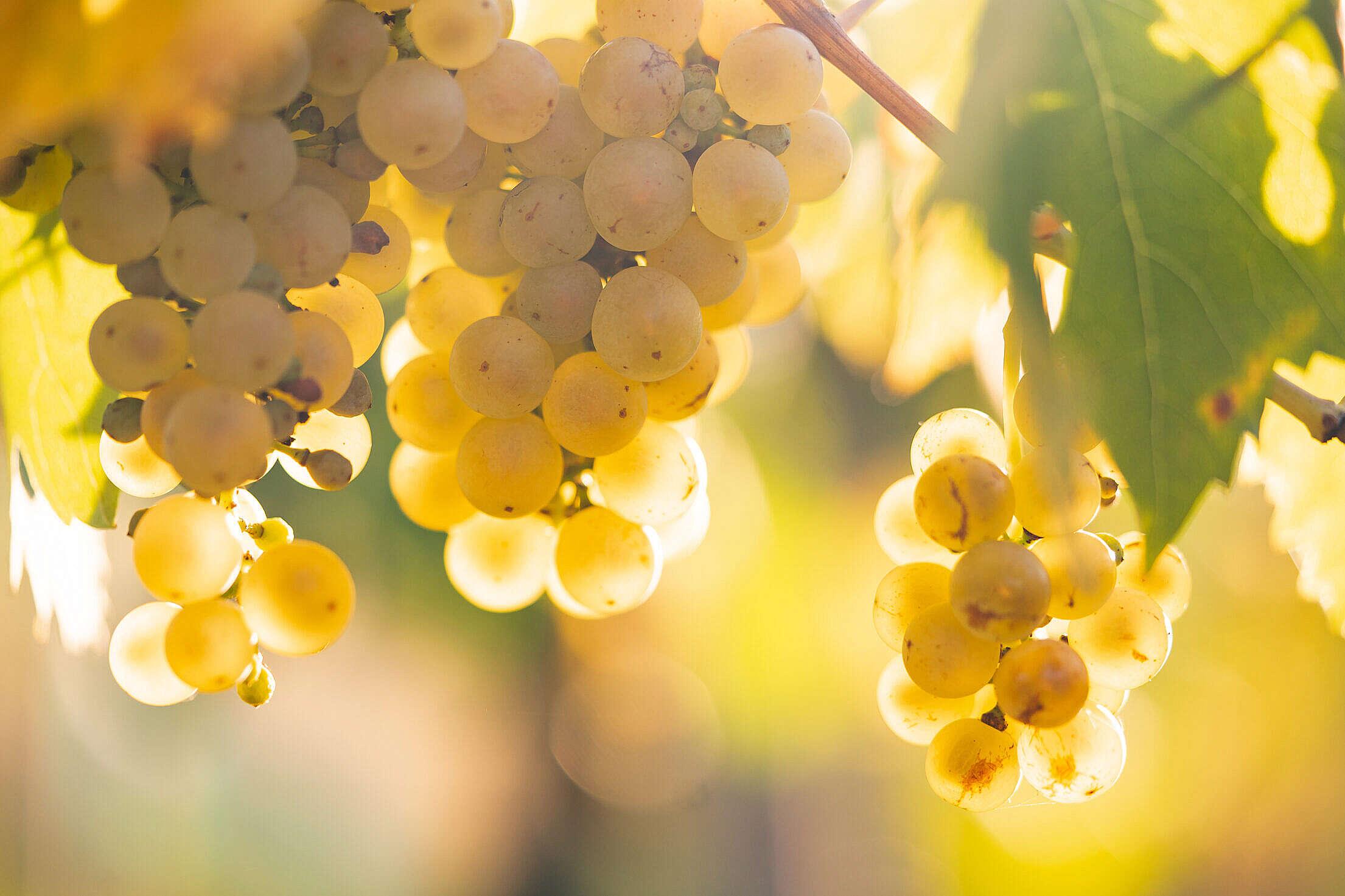 White Grapes in Vineyard Free Stock Photo