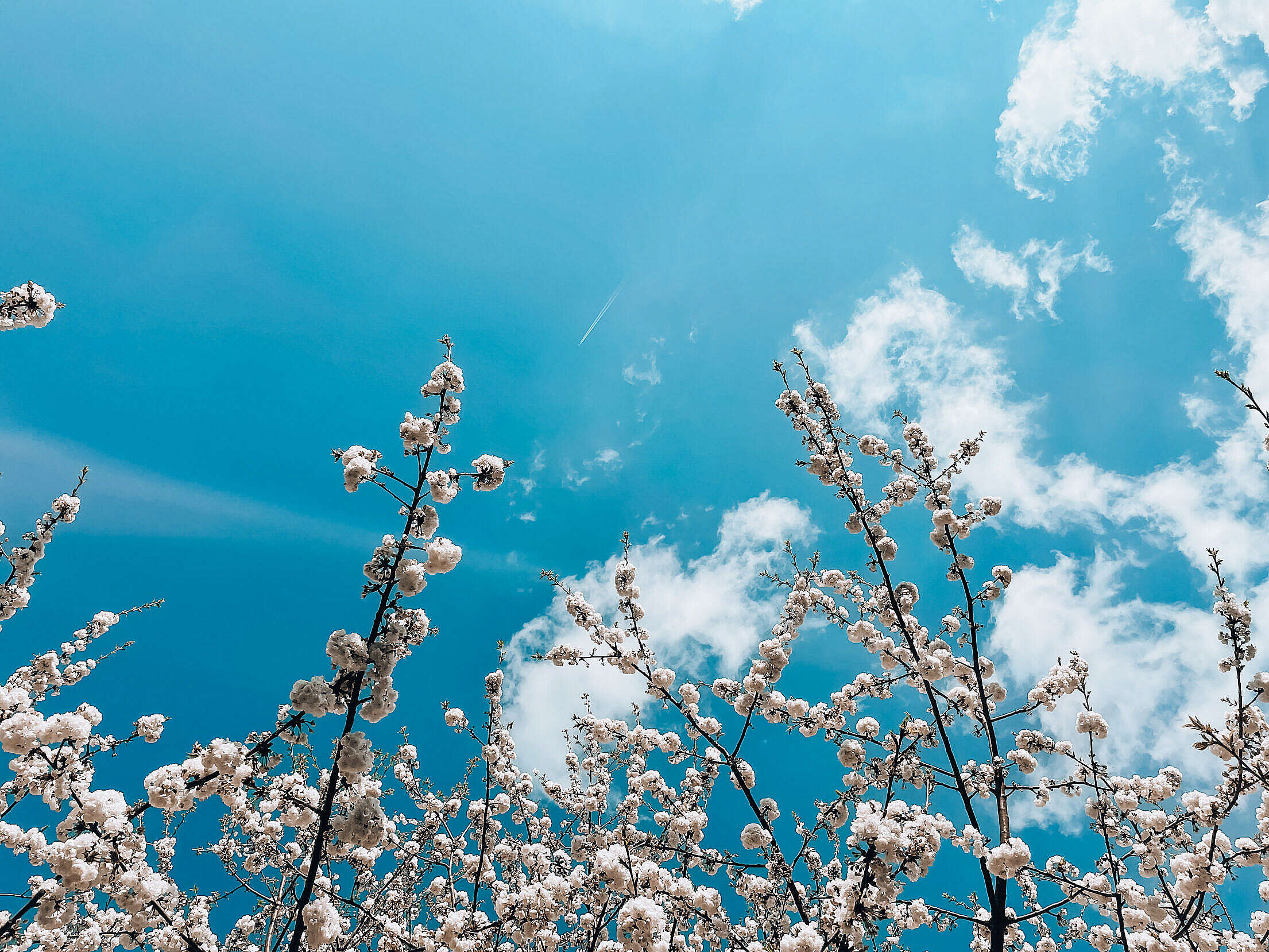White Spring Blooms Against Bright Sky Free Stock Photo