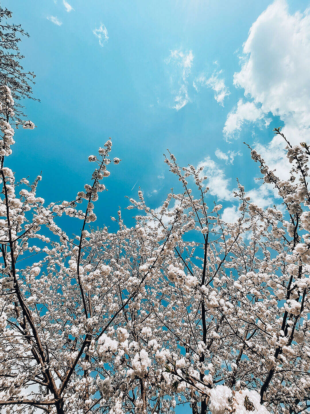 Download White Spring Blooms Vertical FREE Stock Photo