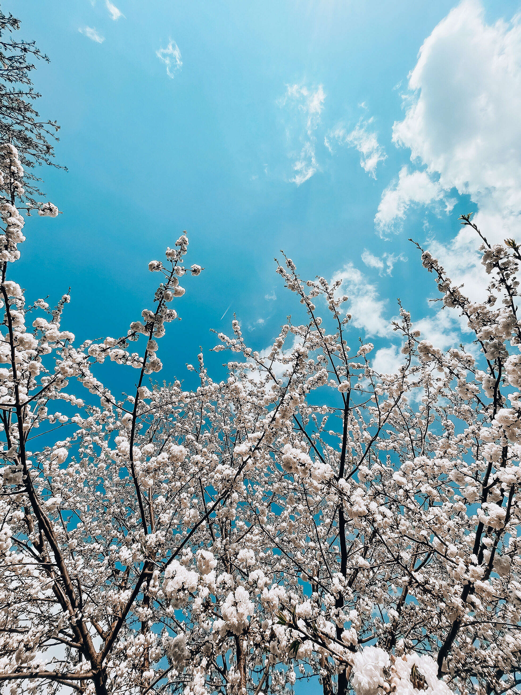 White Spring Blooms Vertical Free Stock Photo