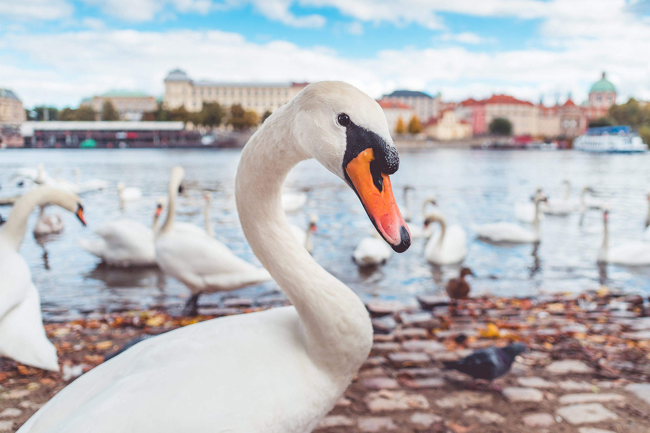 White Swan Suspiciously Checking My Camera Free Stock Photo