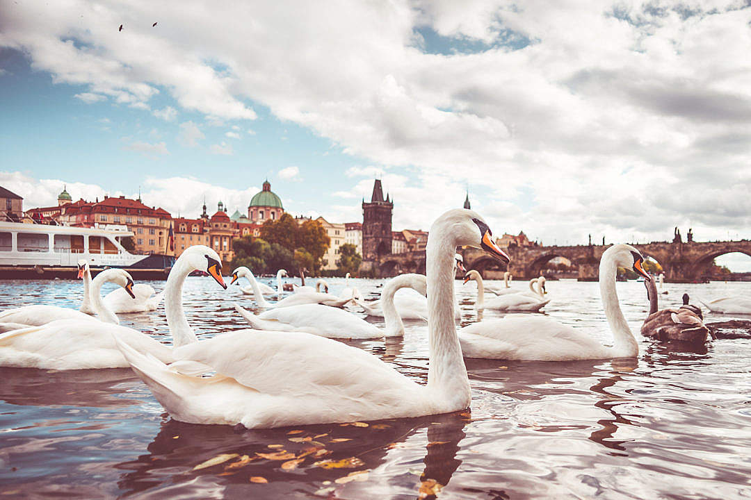Download White Swans near Charles Bridge in Prague #2 FREE Stock Photo