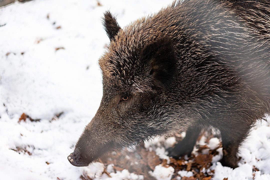 Download Wild Boar FREE Stock Photo