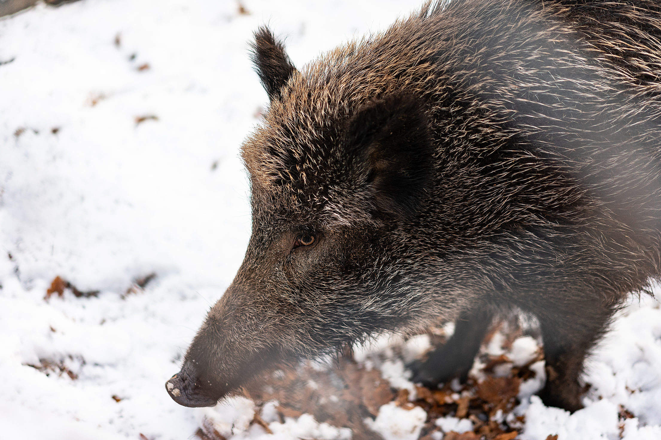 Download Wild Boar Free Stock Photo