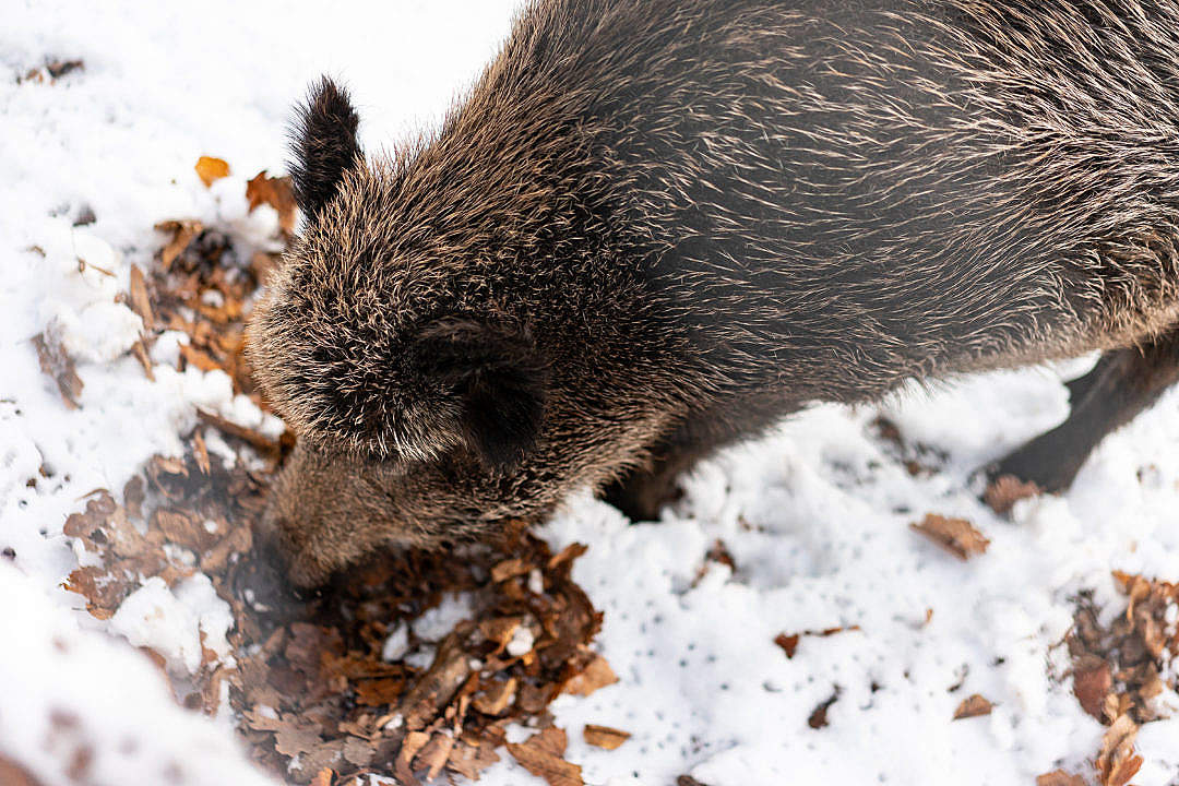 Download Wild Boar Eating in Snow FREE Stock Photo