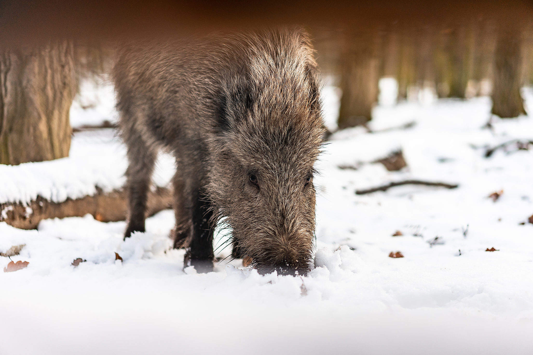 Wild Boar in Snow Free Stock Photo
