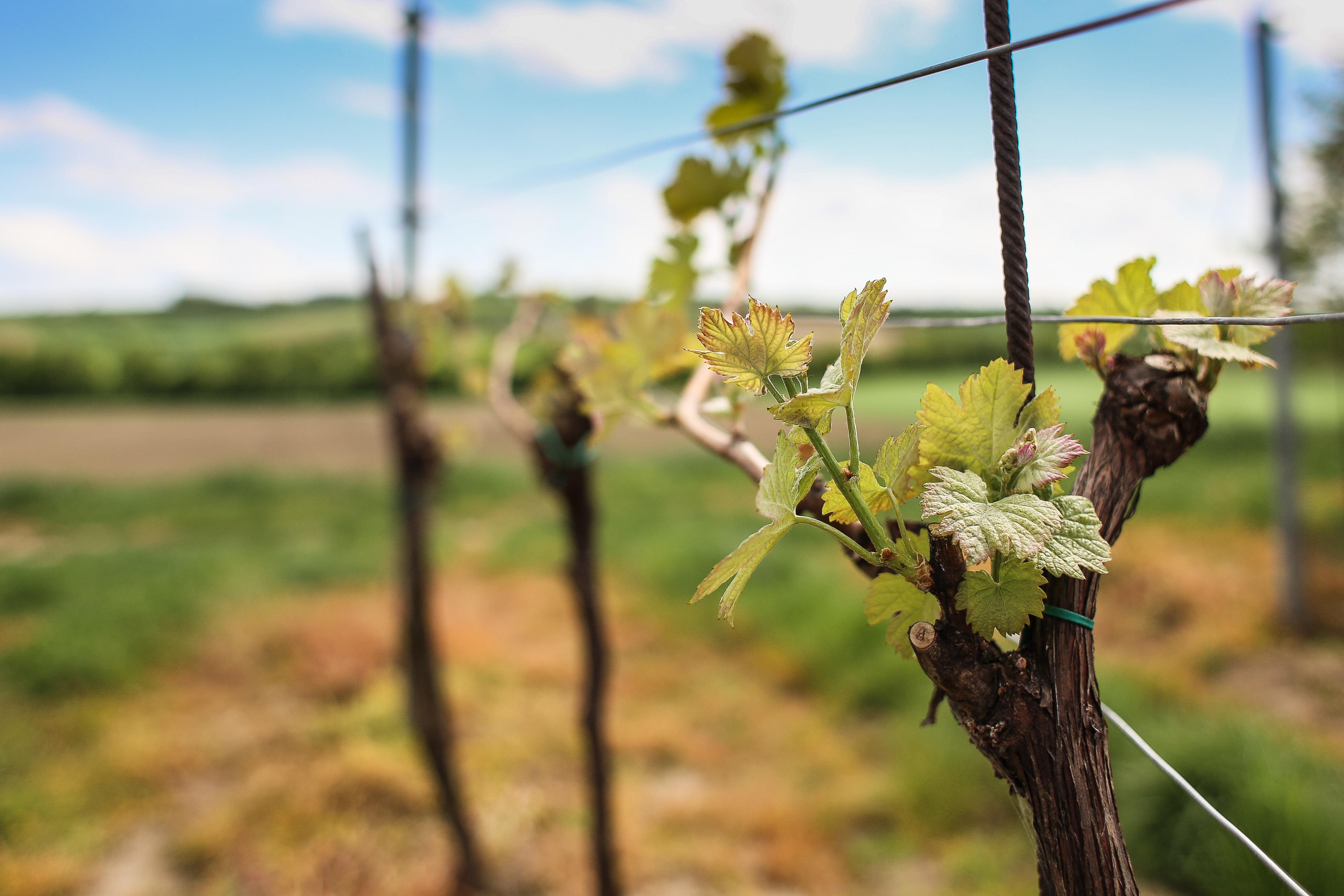 Wine Season Free Stock Photo